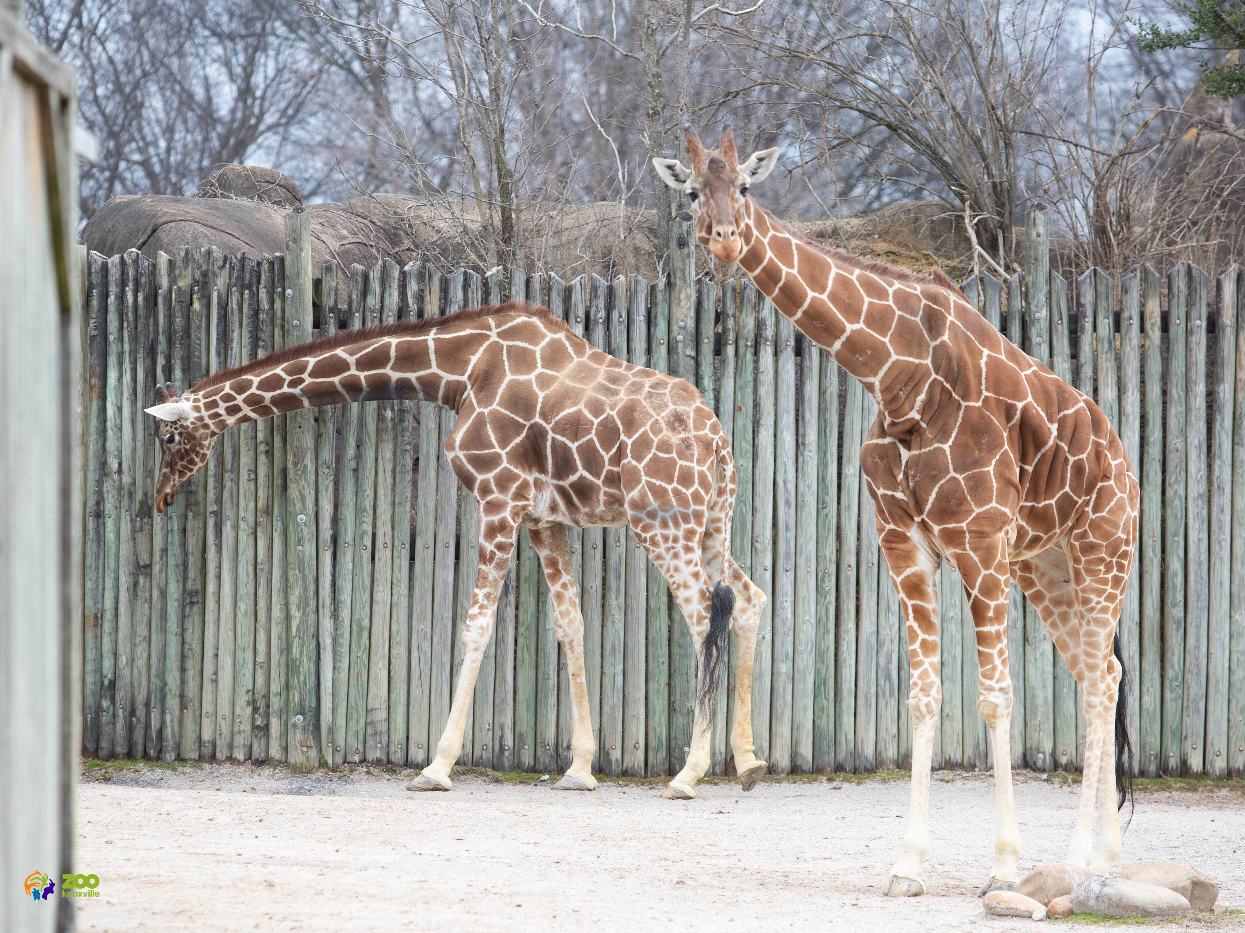 Patches, left, with her daughter Lucille, right, in the outdoor exhibit of their Grassland Africa natural habitat at Zoo Knoxville.