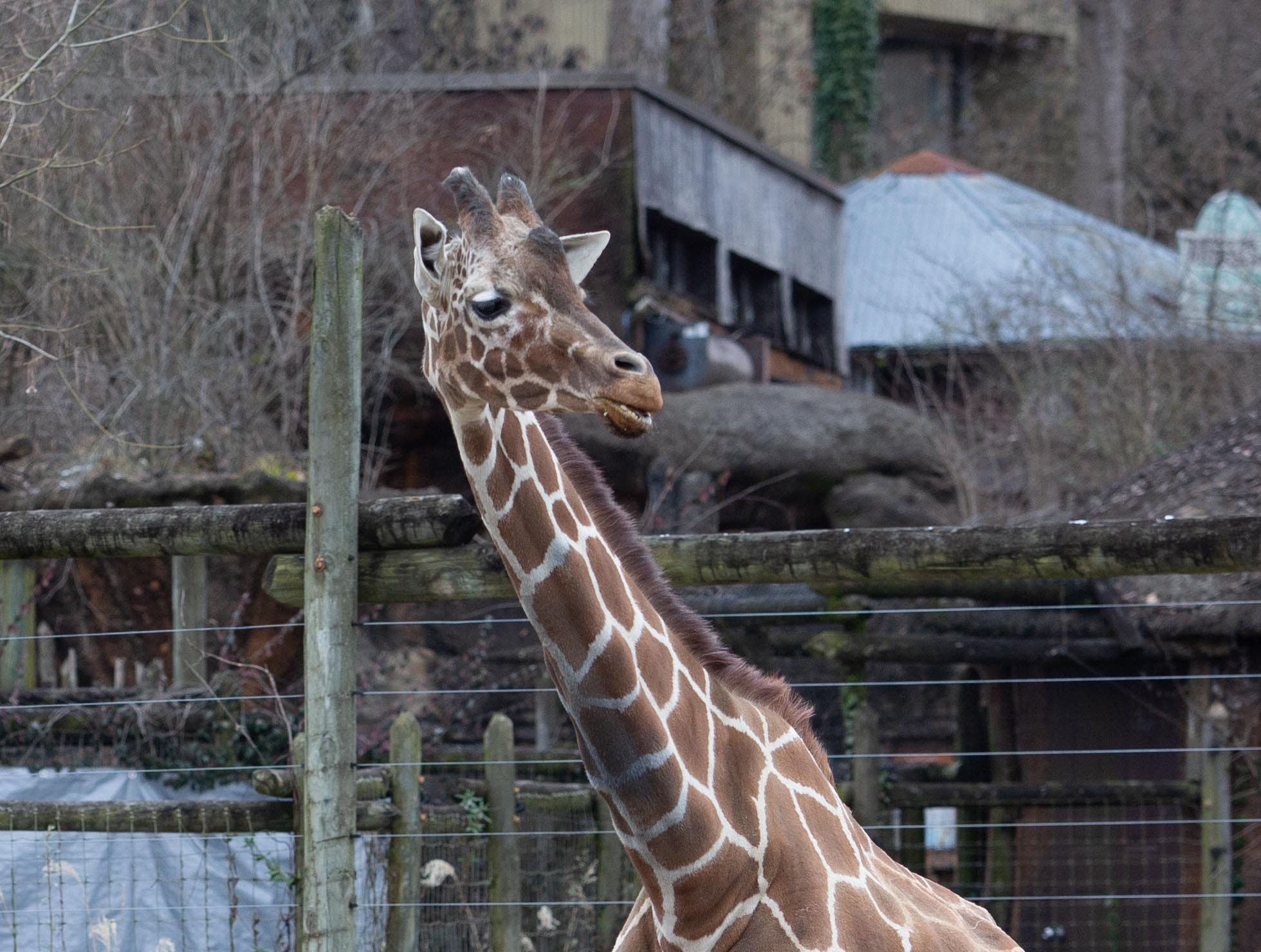Zoo Knoxville's 31-year-old giraffe Patches. Now in declining health with advanced arthritis, Patches gave birth to eight offspring at the park.