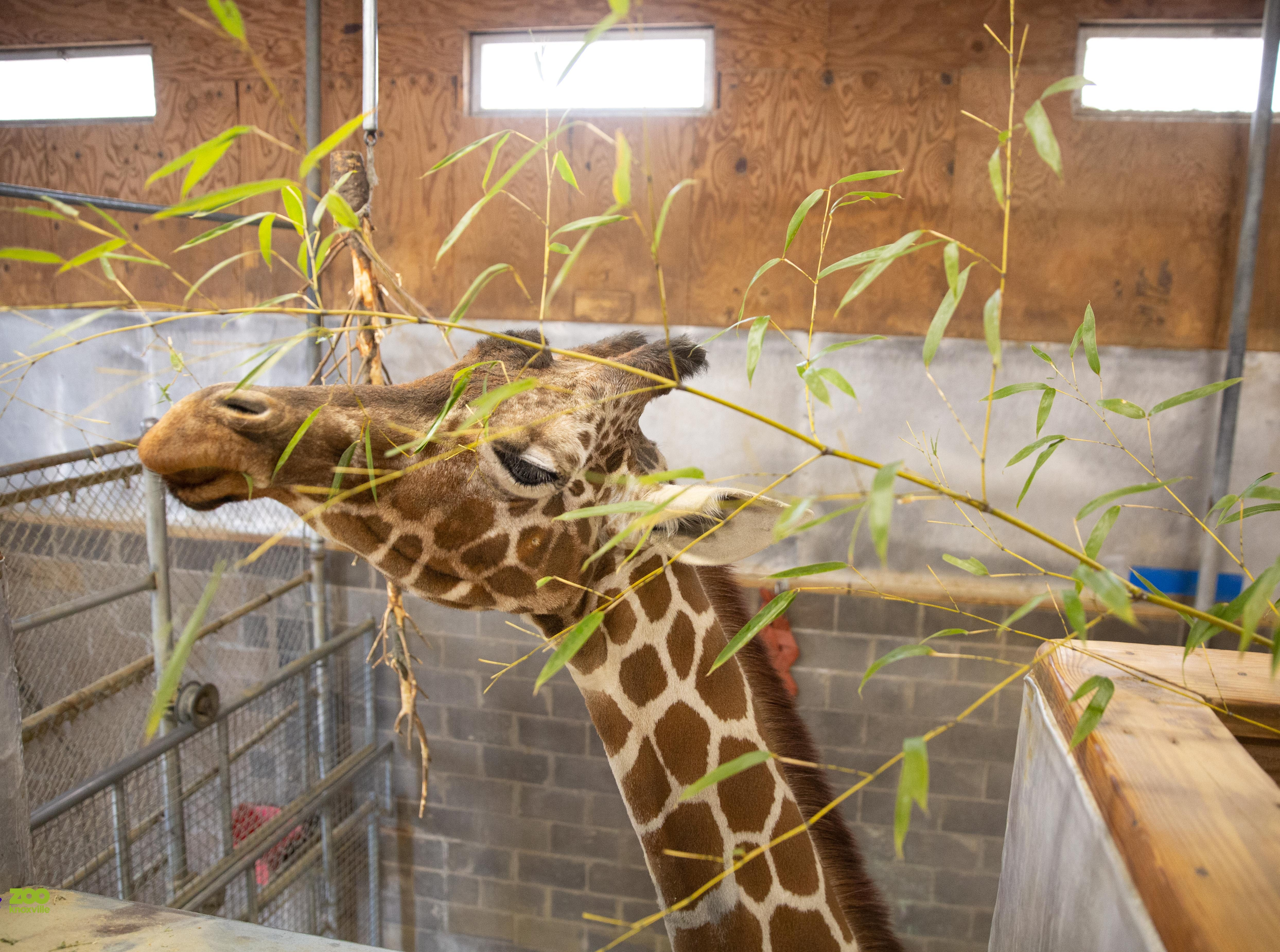Giraffe Patches inside the giraffe barn at Zoo Knoxville February 1, 2019.