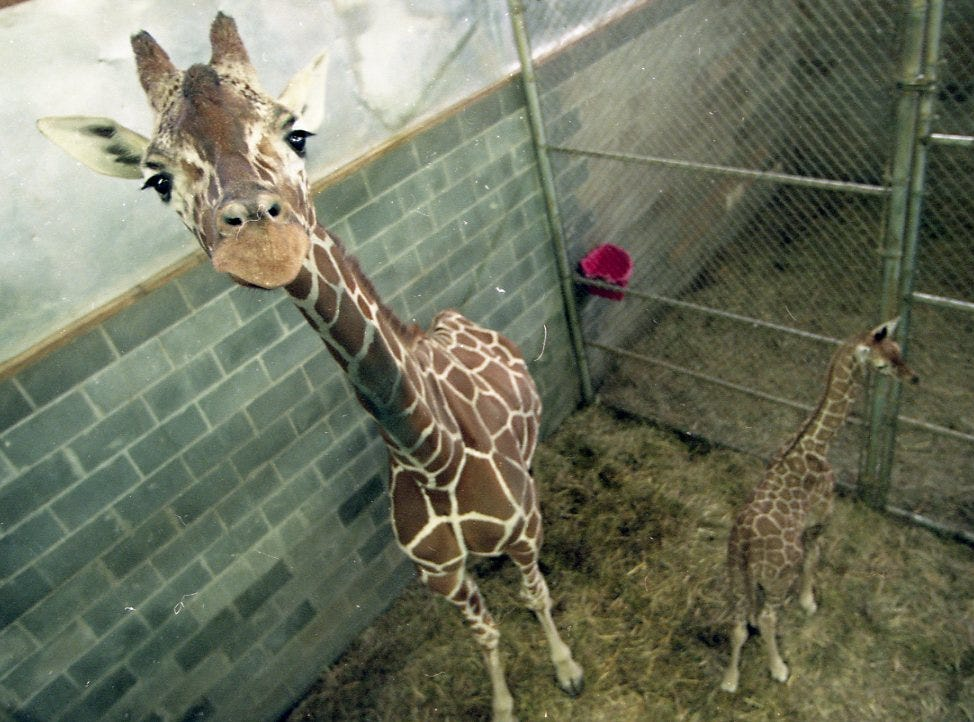 Patches, a giraffe at the Knoxville Zoo, eyes the camera as Baxter, her newborn calf, shies away from the attention of visitors in February 1998. The giraffe calf, which stands 6-feet tall and weighs 125 pounds, was born January 23, 1998 and is named after Bill Baxter, the zoo's former zoo chair.