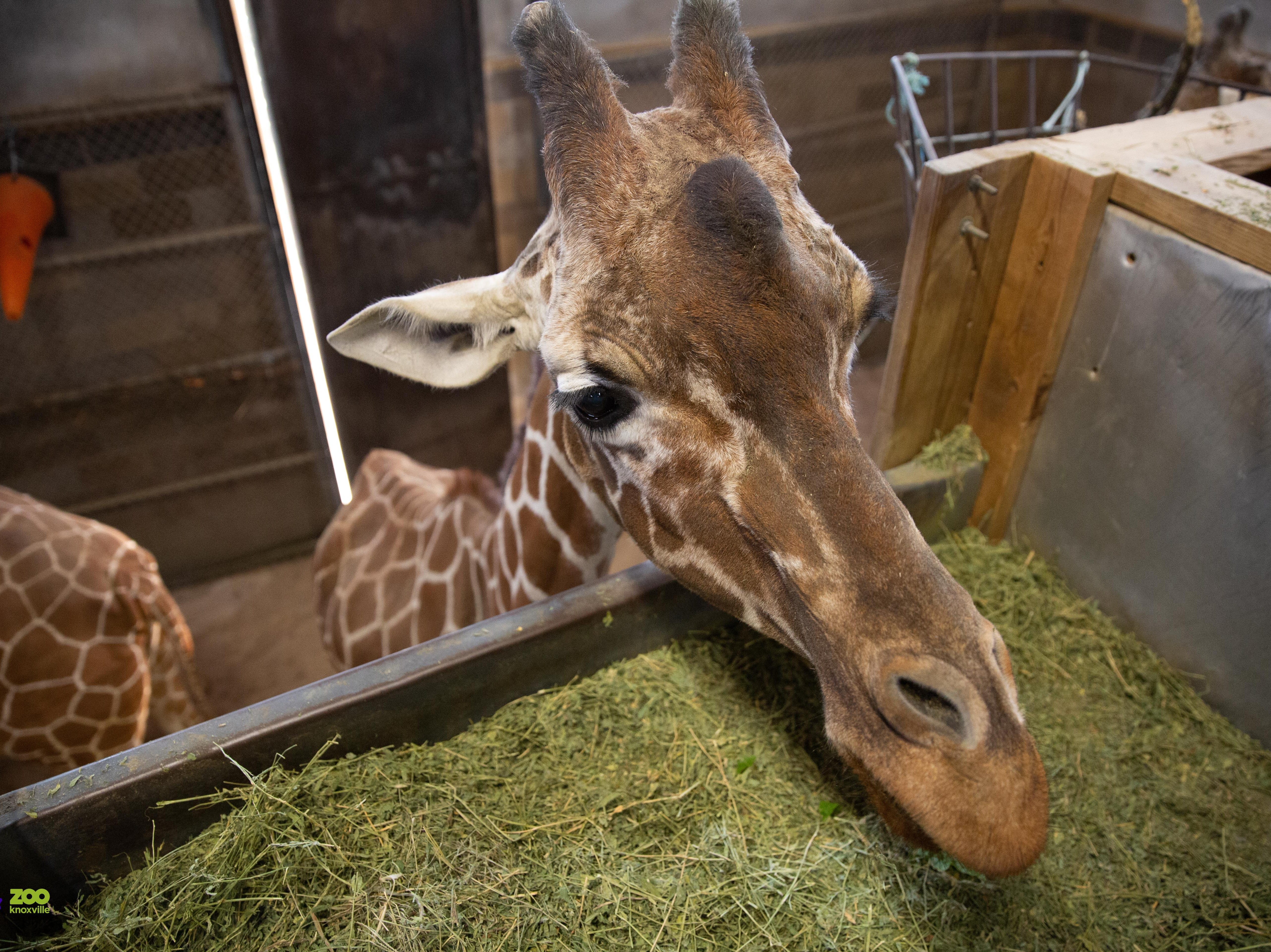 Zoo Knoxville's 31-year-old giraffe Patches is in declining health. She's the oldest giraffe in the United States.