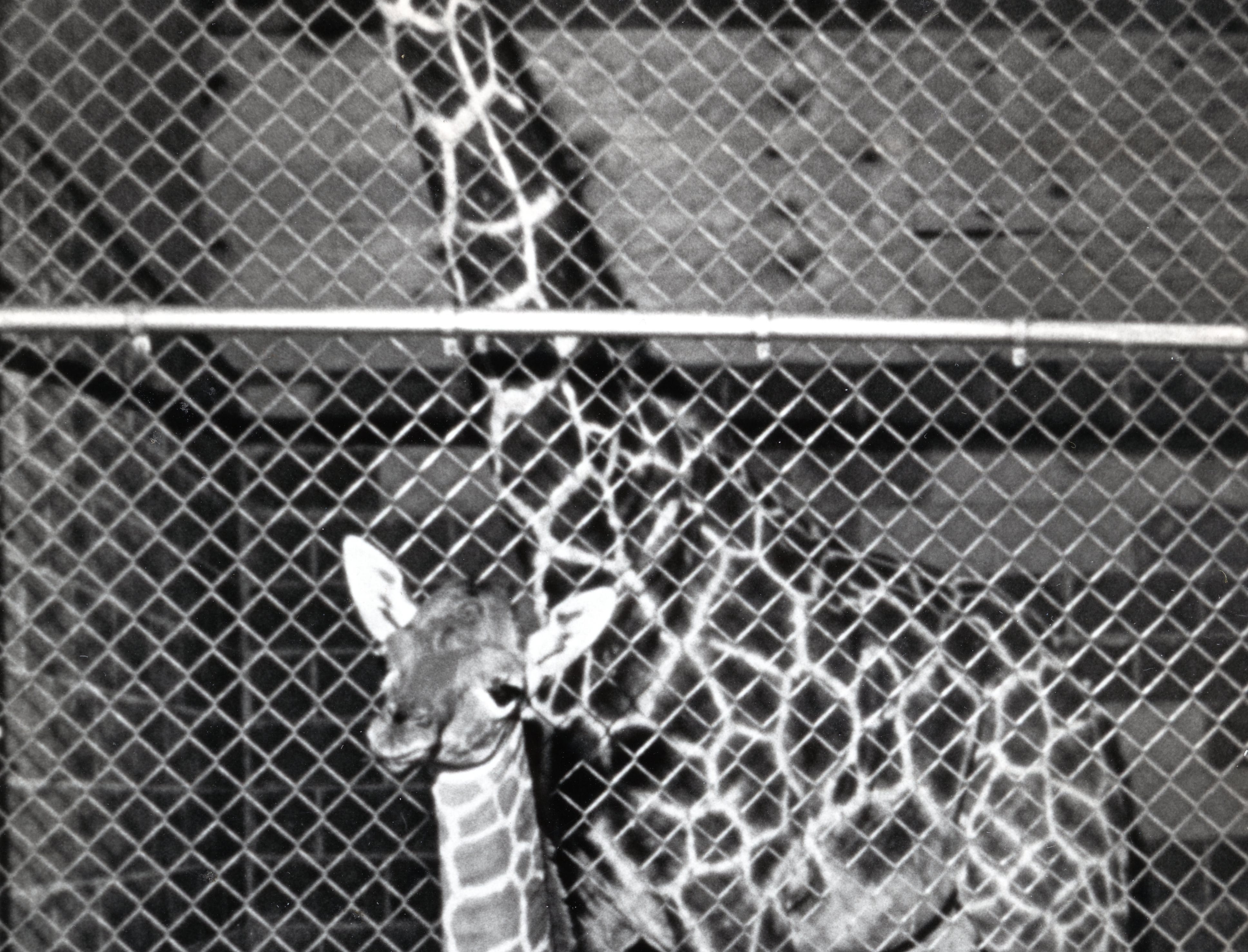 An unnamed giraffe born on June 6, 1987 in the early morning at Knoxville Zoo. The parents are father E.T. and the mother is named Miss T. The baby giraffe would later be named Patches.