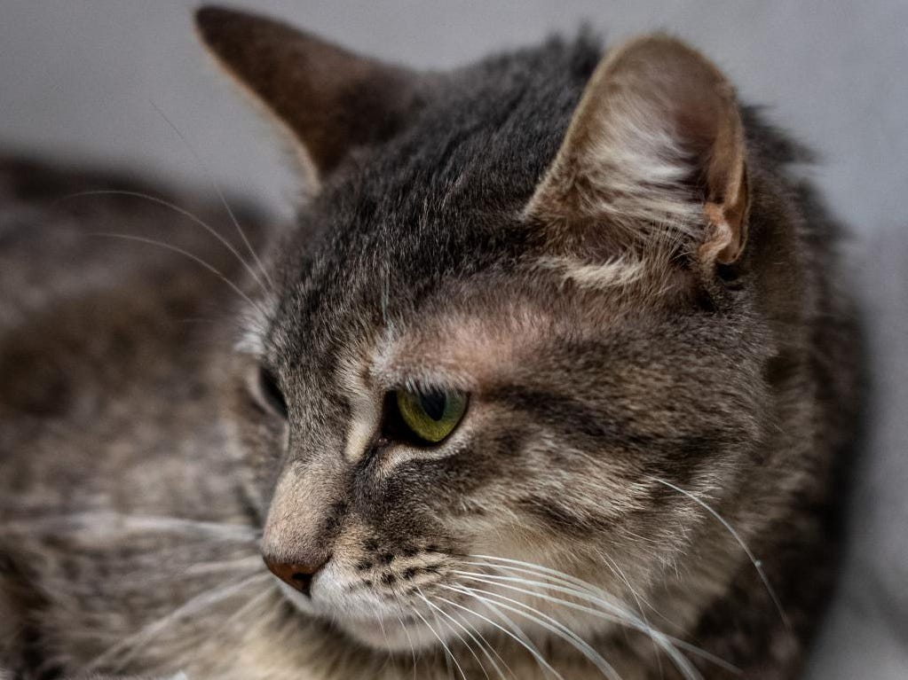 Corazon - Female (spayed) grey tabby, about 4 years and 7 months. Intake date: 11-16-2018
