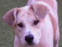 Candy is a 1 year old shepherd mix looking for a forever home.  She likes walks in the park, playtime and cuddles.  If you are looking for a new best friend come adopt her today! She does well with most other dogs.