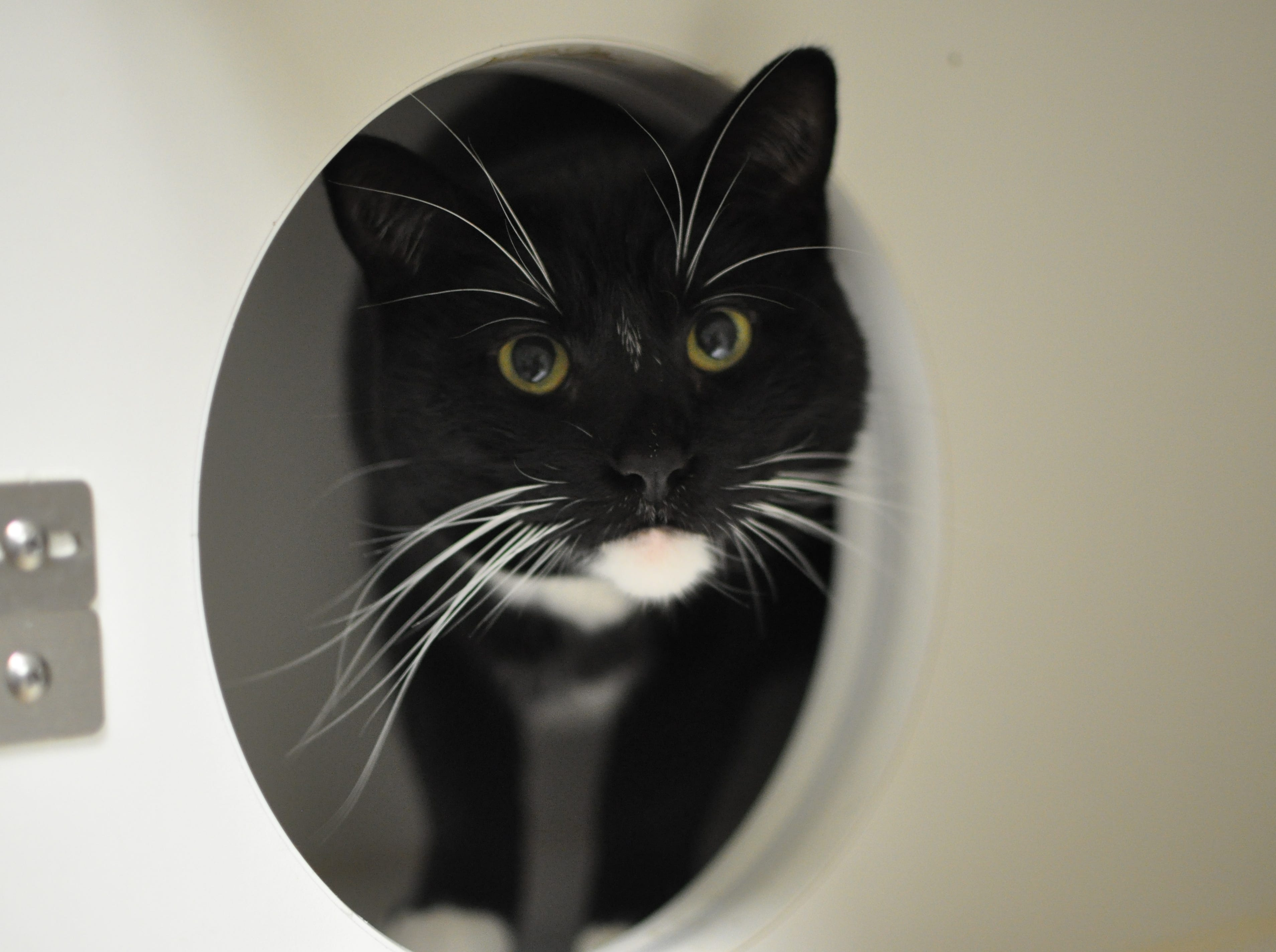 Five-year-old Stanley loves to relax and snuggle and is outgoing. He is neutered.