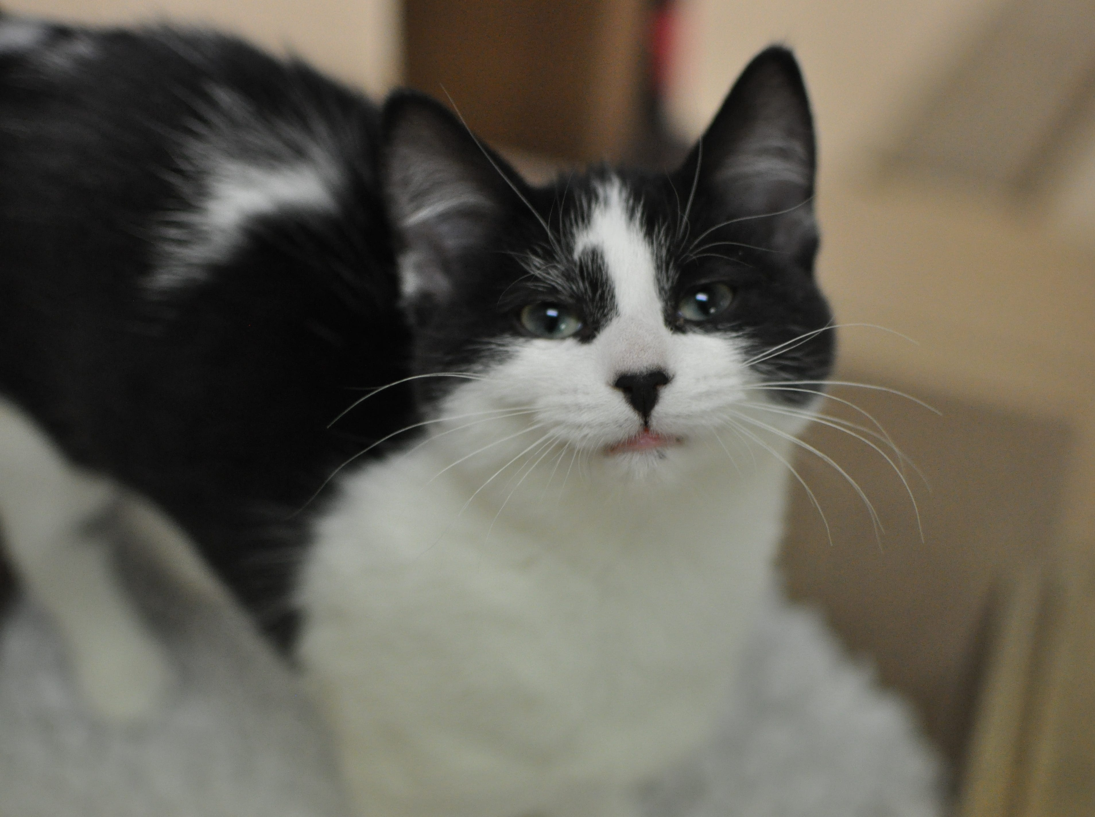 Mediterranean, 3 months, is friendly and outgoing and loves to play. She would love a cat buddy in her new home and is spayed.