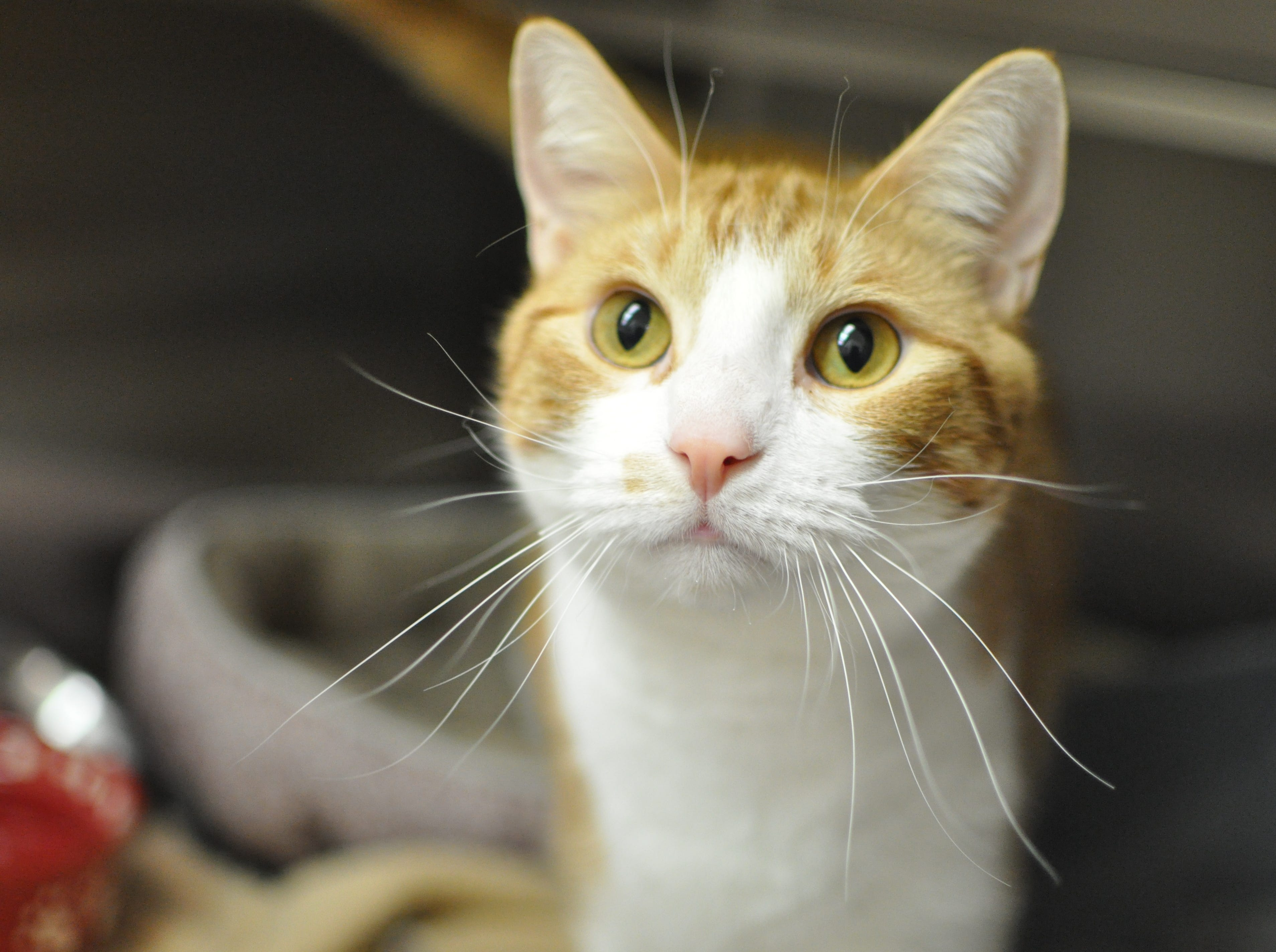 Spuddy Buddy, 2, loves sparkle balls, head butts and being pet. He is neutered.