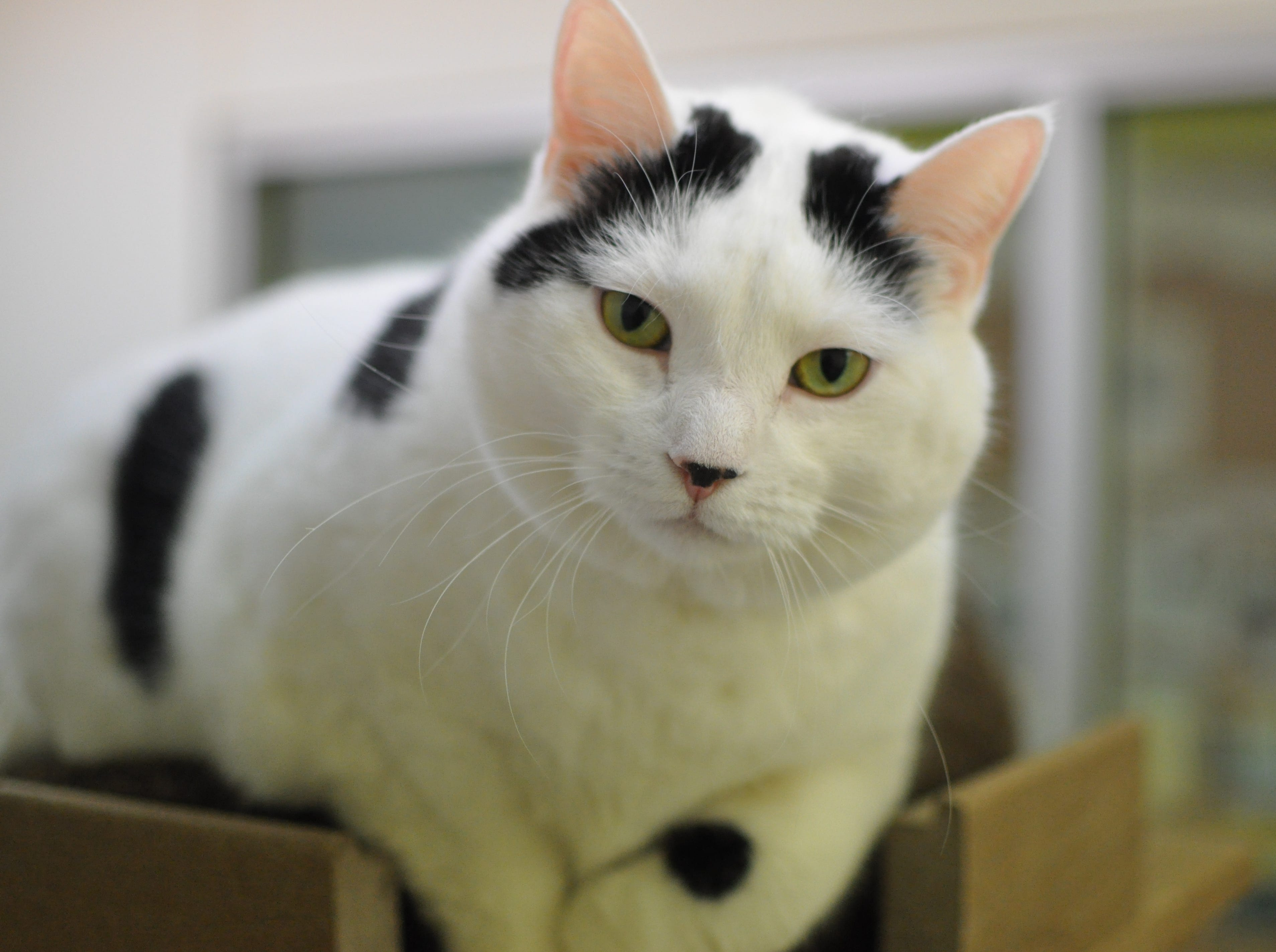 June, 6, loves attention and being the boss. She wants to find a home with her best friend Johnny and is spayed.