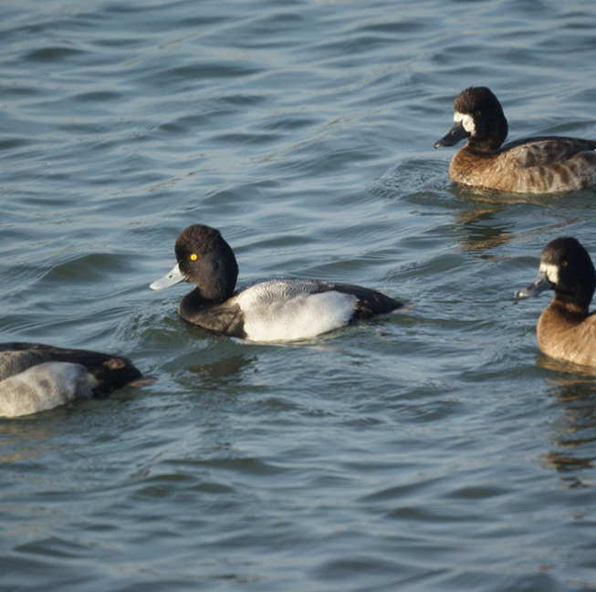 Identify diving duck by its top hat-like tuft