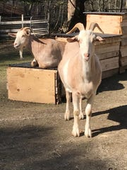 Bessie and Milo are mother and son goats who found a new life at Safe Haven Farm Sanctuary in Poughquag .