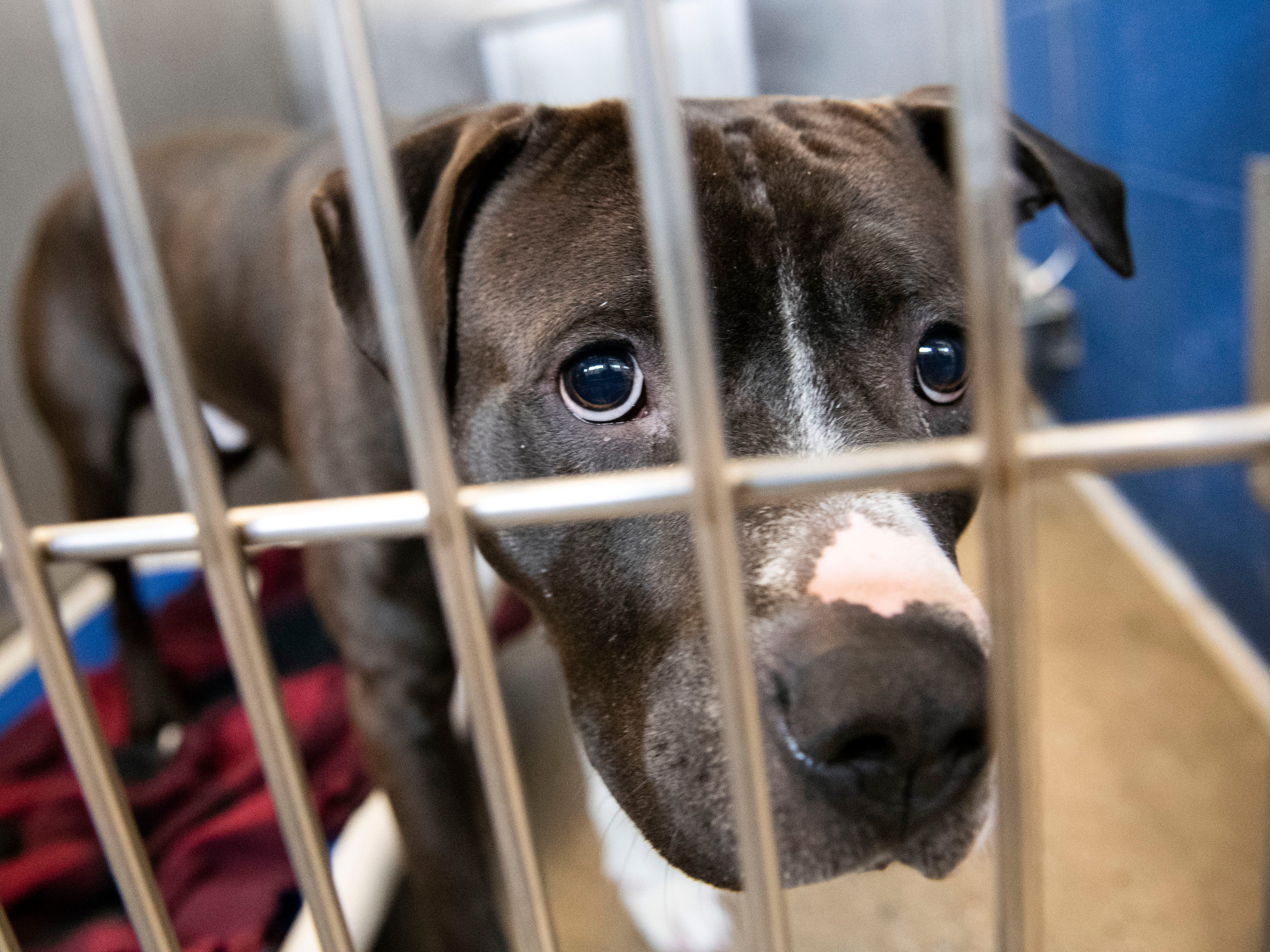 A no-named male pit bull, under the age of 5, at the York County SPCA, Thursday, Feb. 7, 2019. He was found in the 500 block of S. Lemon St., in Hellam Township.
