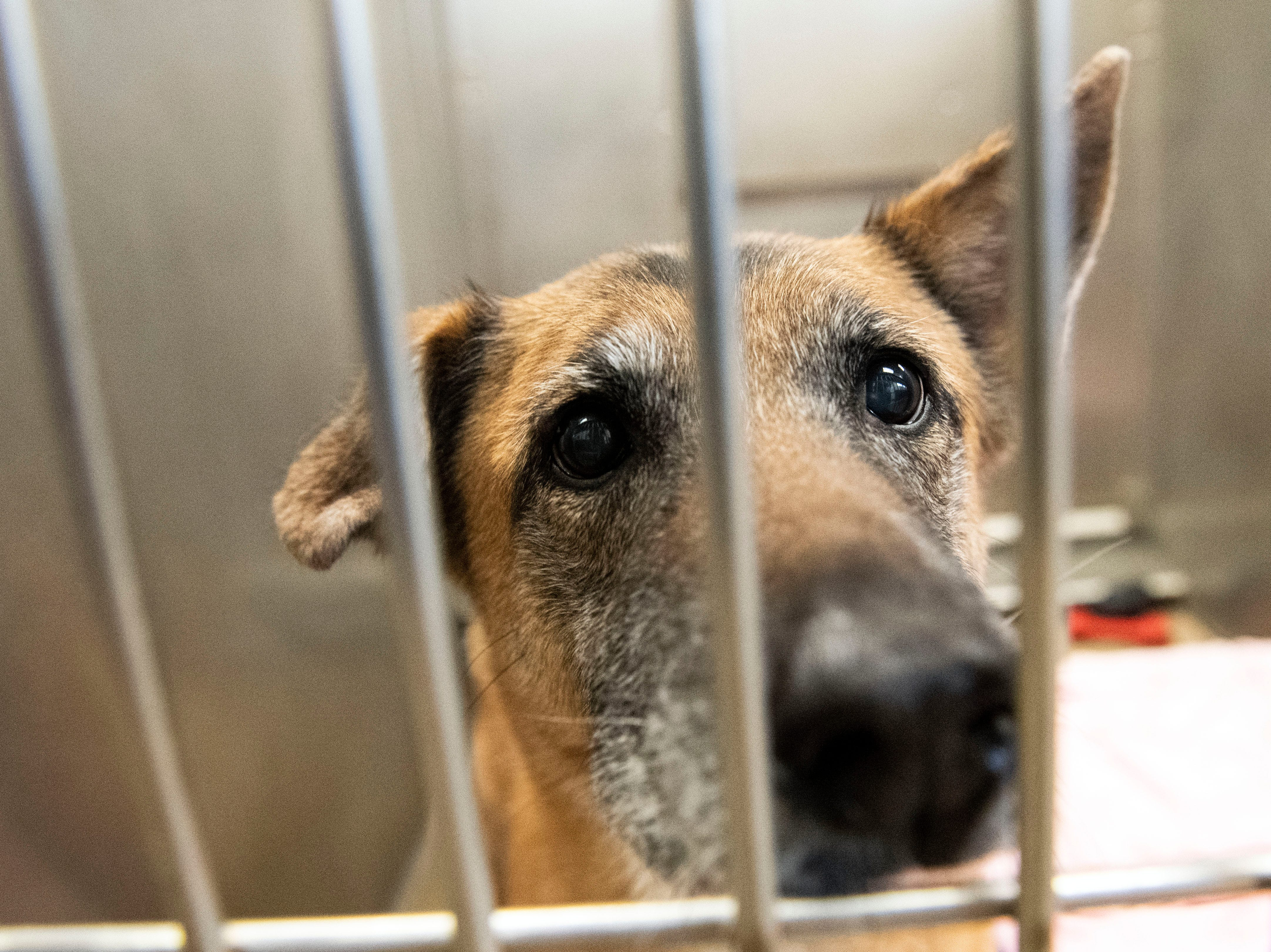 Cece, a 10-year old German Shepard mix, at the York County SPCA, Thursday, Feb. 7, 2019. She was brought in because her owner works long hours and was unable to give her the time.