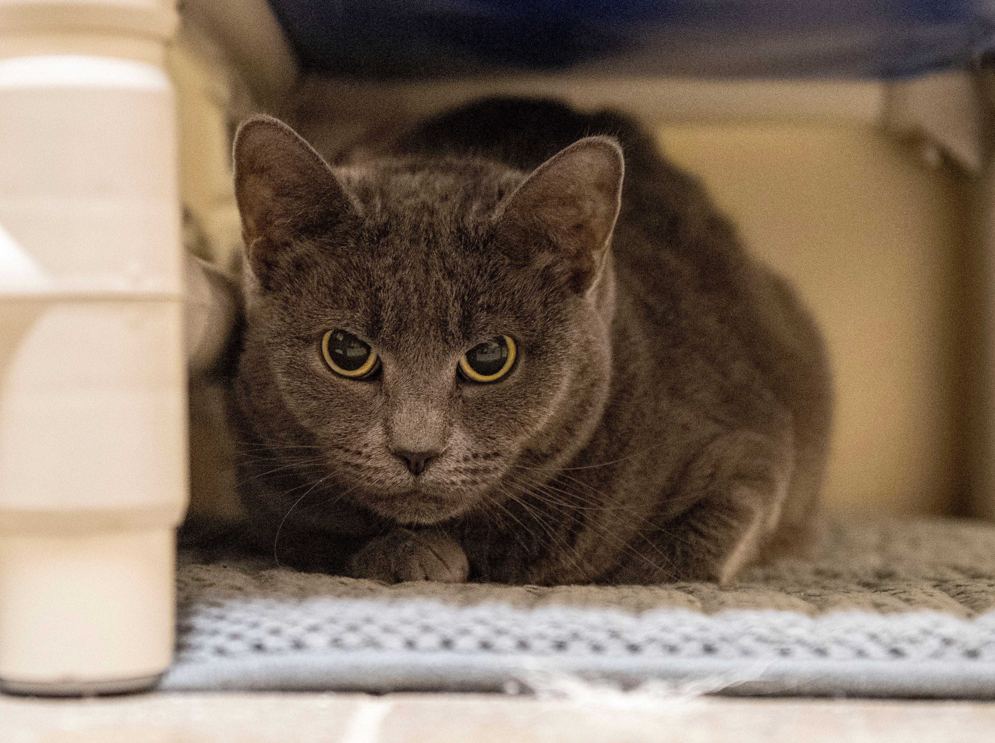 Pearl, a 5-year old gray cat, at the York County SPCA, Thursday, Feb. 7, 2019. Pearl was brought into the shelter after her owner died.