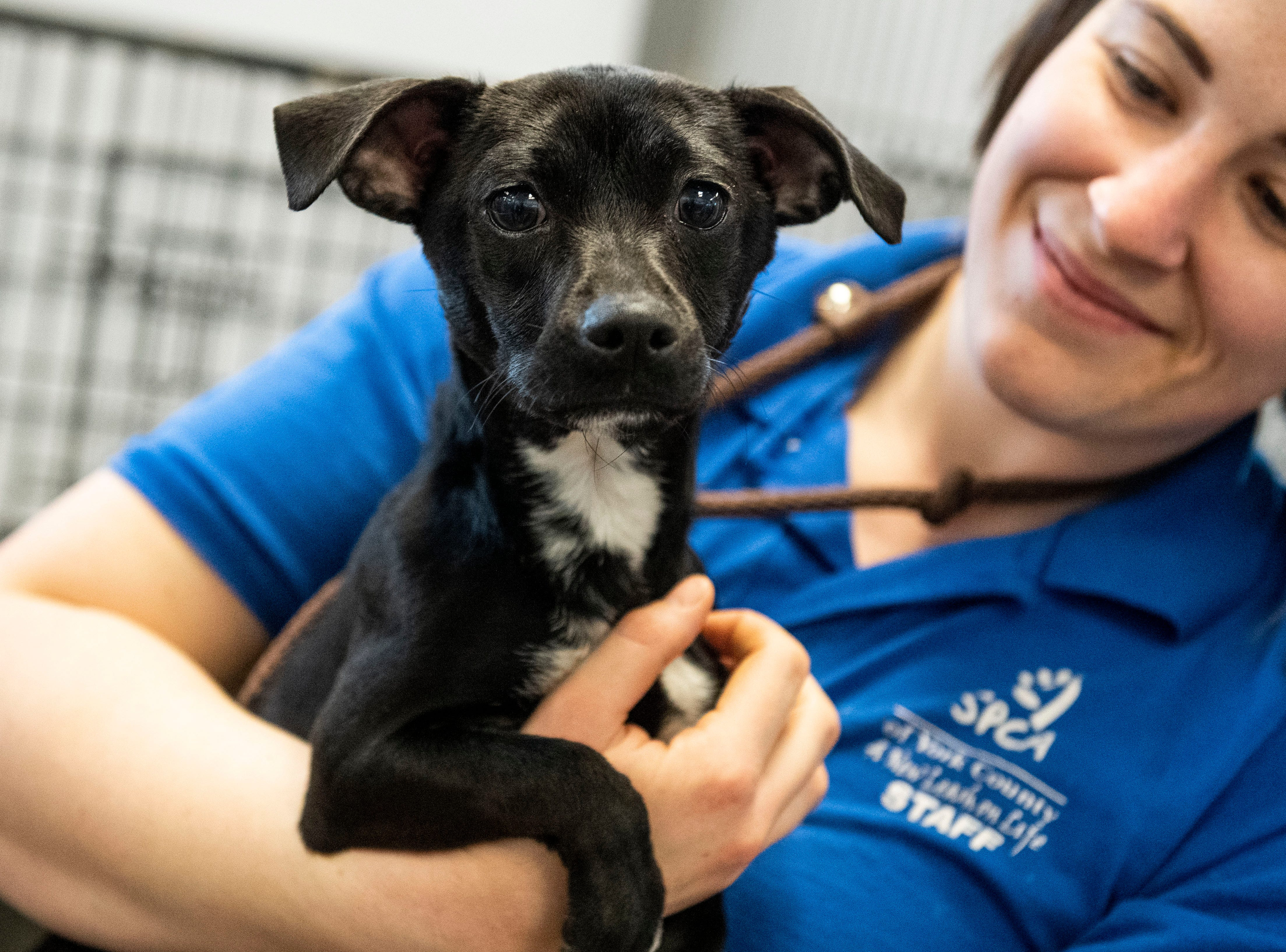 A no-name, young Chihuahua mix, at the York County SPCA, Thursday, Feb. 7, 2019. She was found in the City of York, near East Princess St.