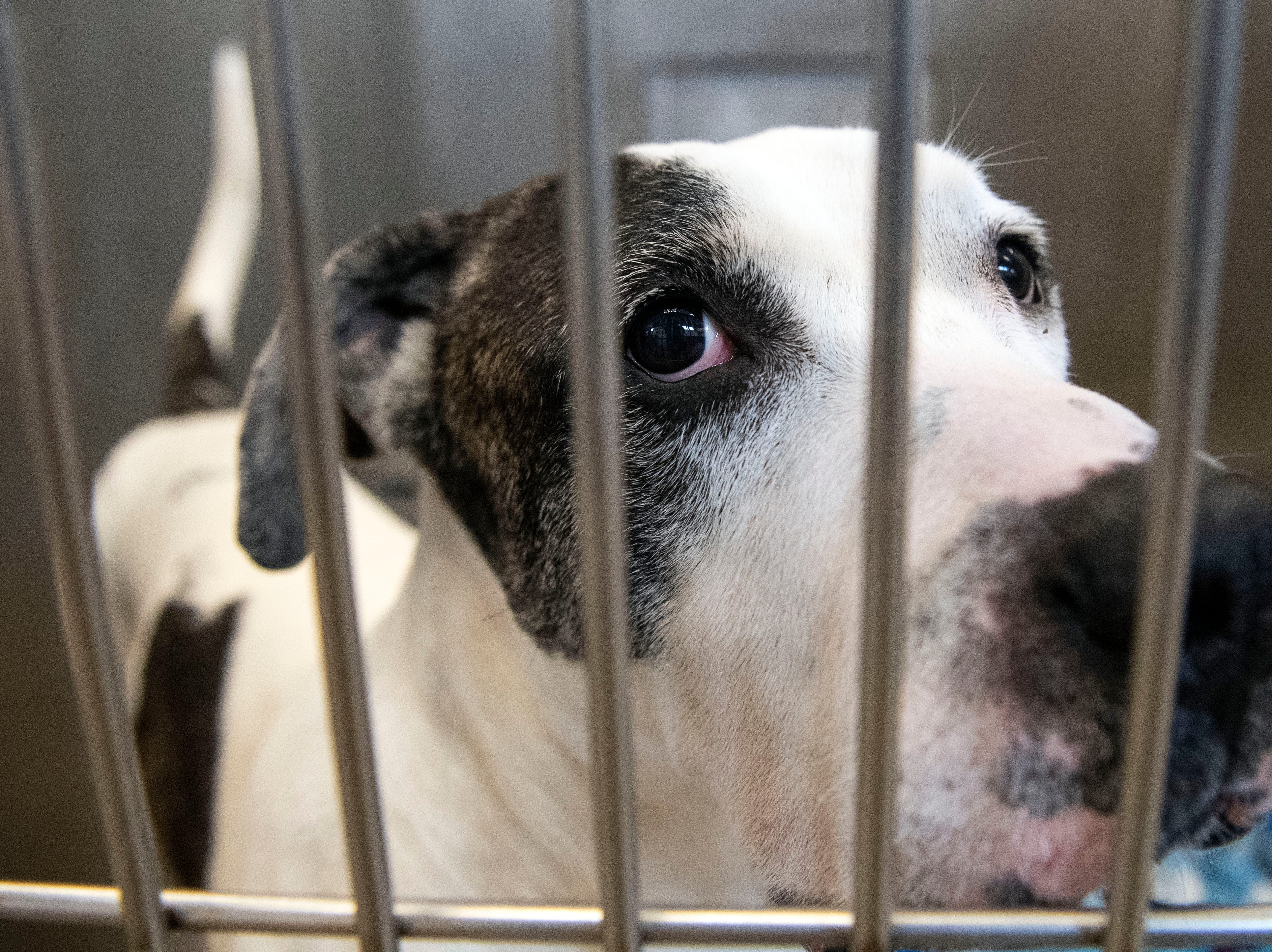 Jake, a 7-year old American Bull dog, at the York County SPCA, Thursday, Feb. 7, 2019. Jake was brought into the shelter because his owner was injured and could no longer care for him.