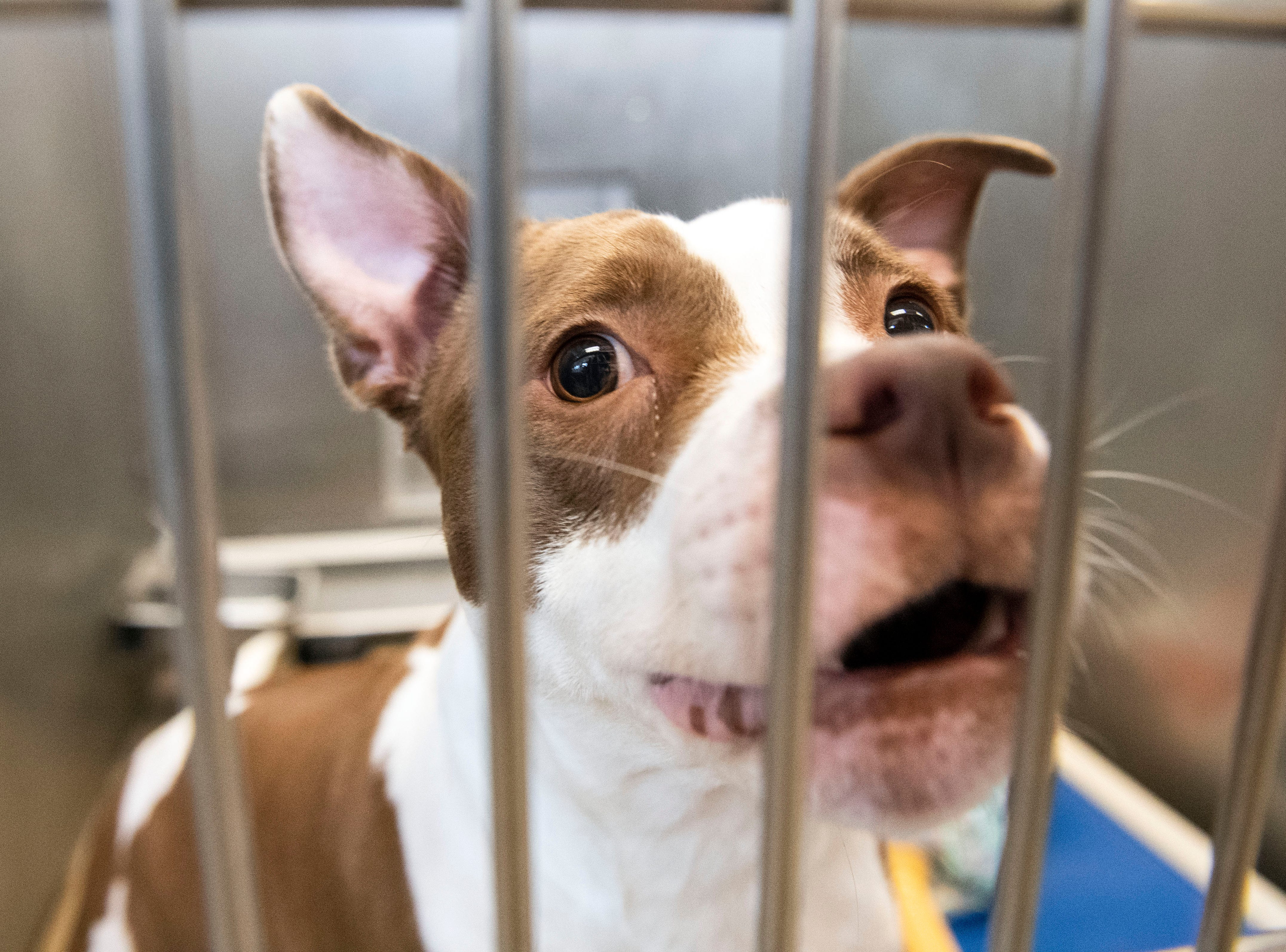 A no-named pit bull, aged 1-5 years old, at the York County SPCA, Thursday, Feb. 7, 2019. She was brought into the shelter on Locust St. in Lancaster city.