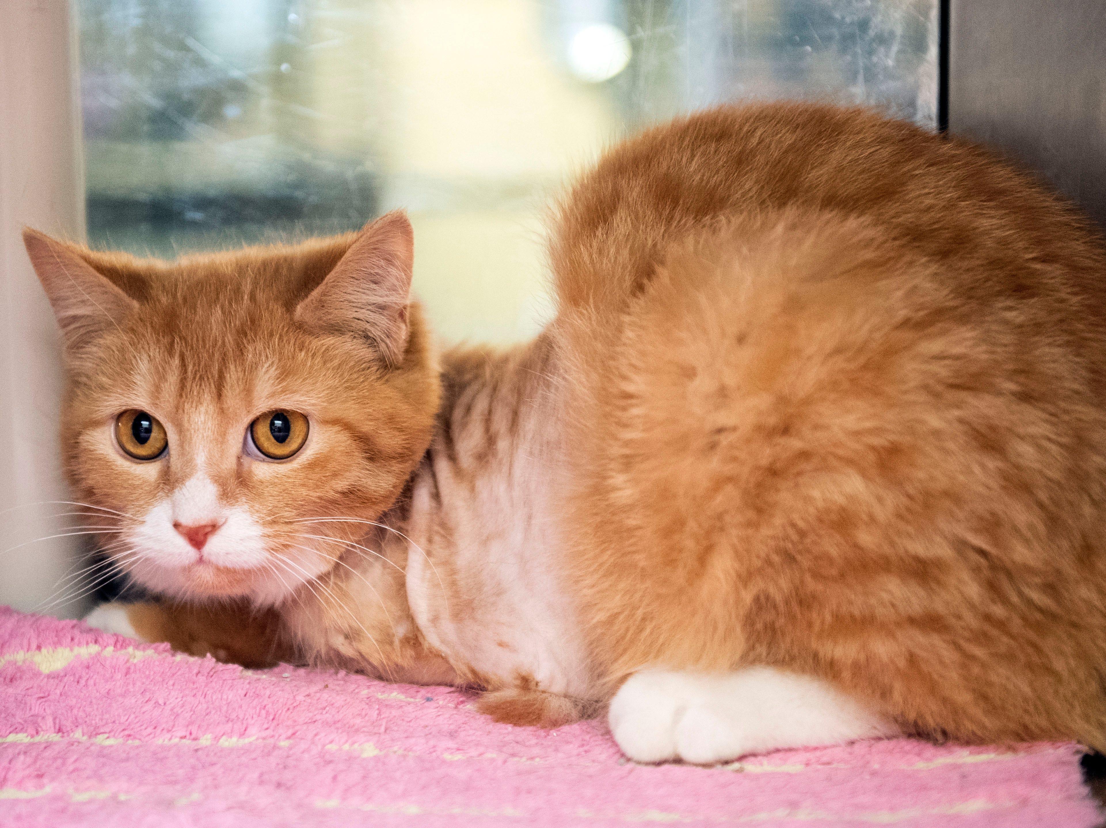 Darryl, a three-legged cat at the York County SPCA, Thursday, Feb. 7, 2019. Darryl was found in Codorus Township.