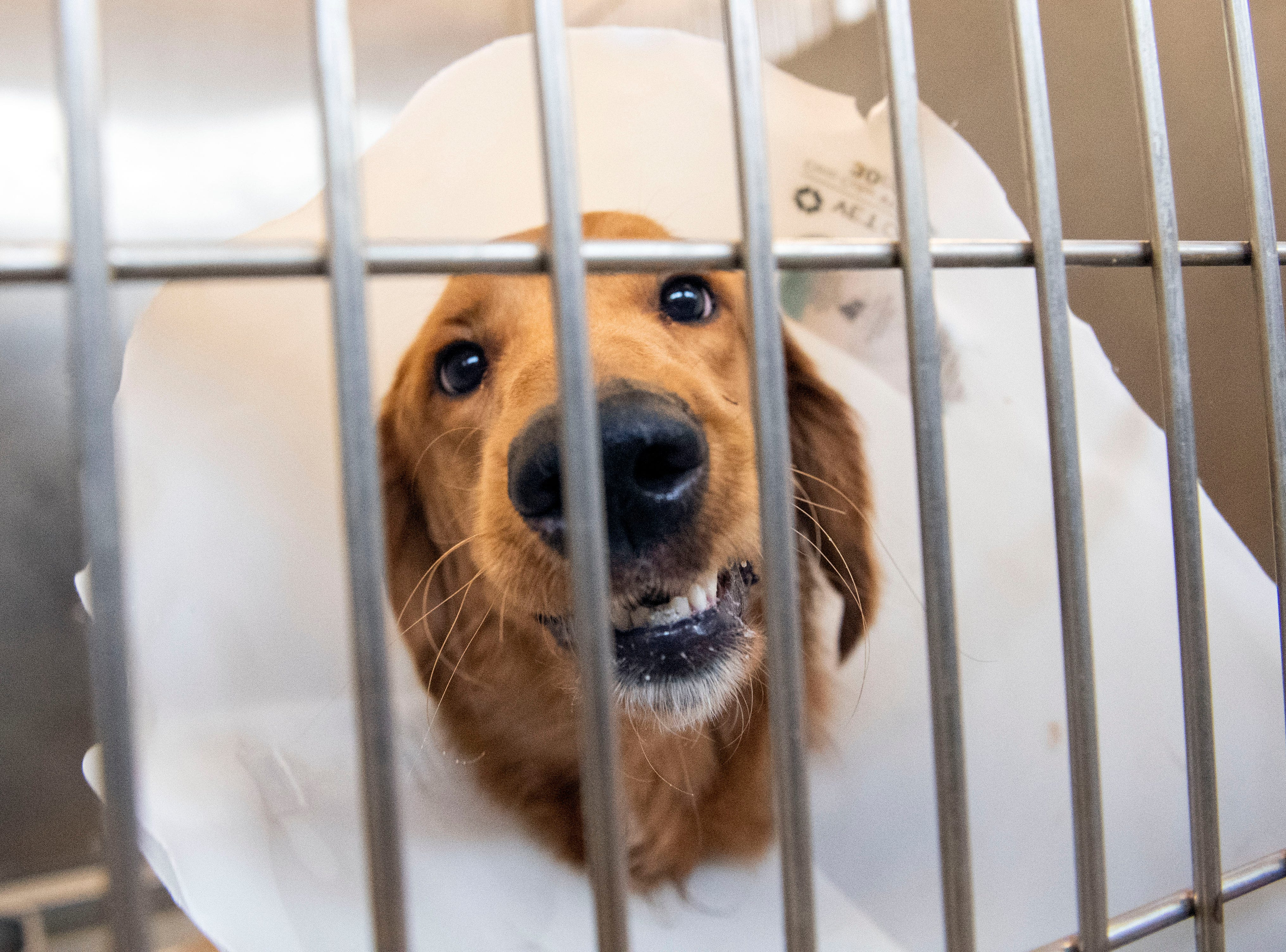 A no-named golden retriever, under the age of 5, at the York County SPCA, Thursday, Feb. 7, 2019. He was found by police on Bannister St., in West Manchester Township.