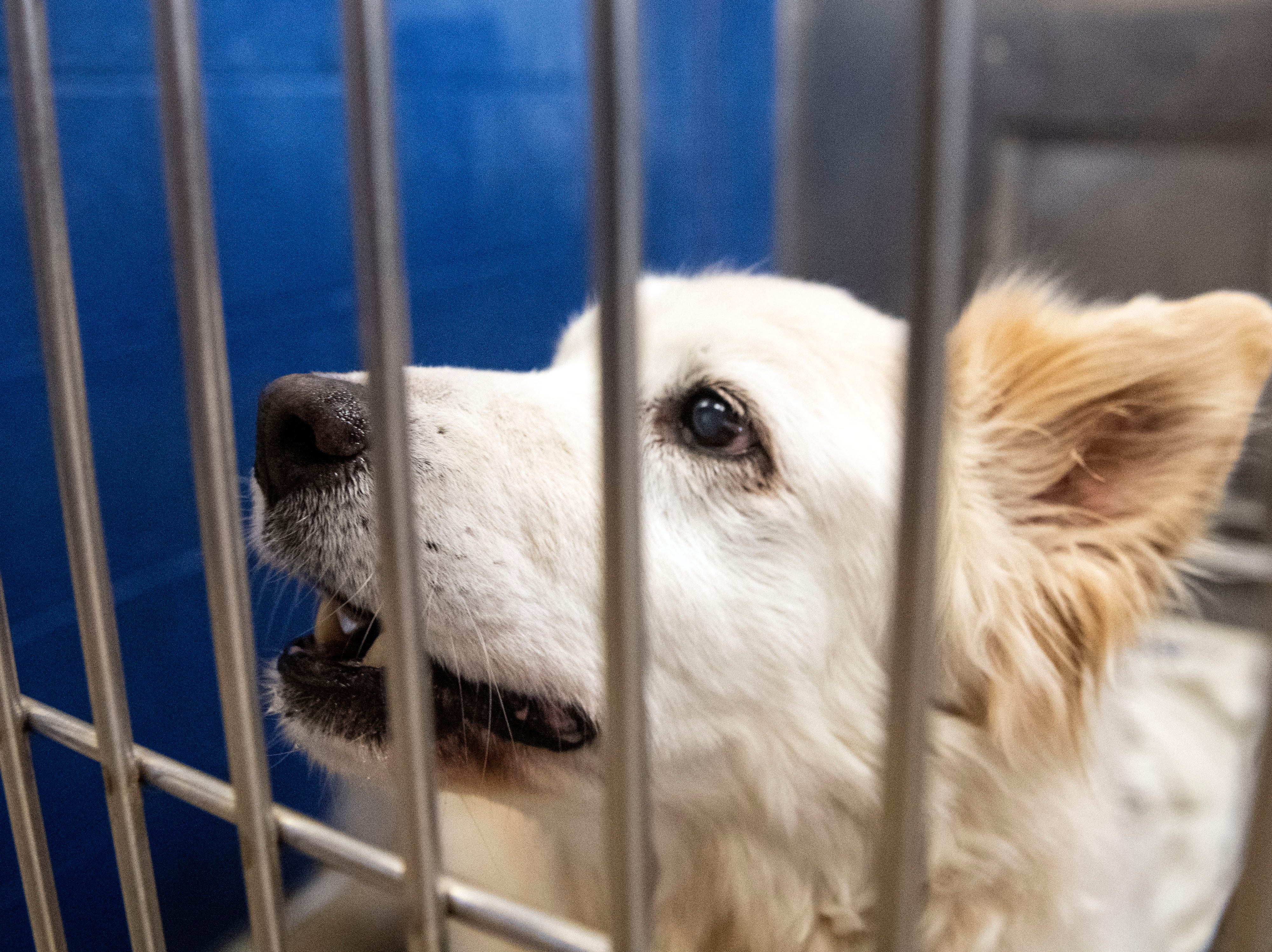 PK, an older (over 12 years) mixed spitz, at the York County SPCA, Thursday, Feb. 7, 2019. He was brought into the shelter due to both of his owners becoming ill.