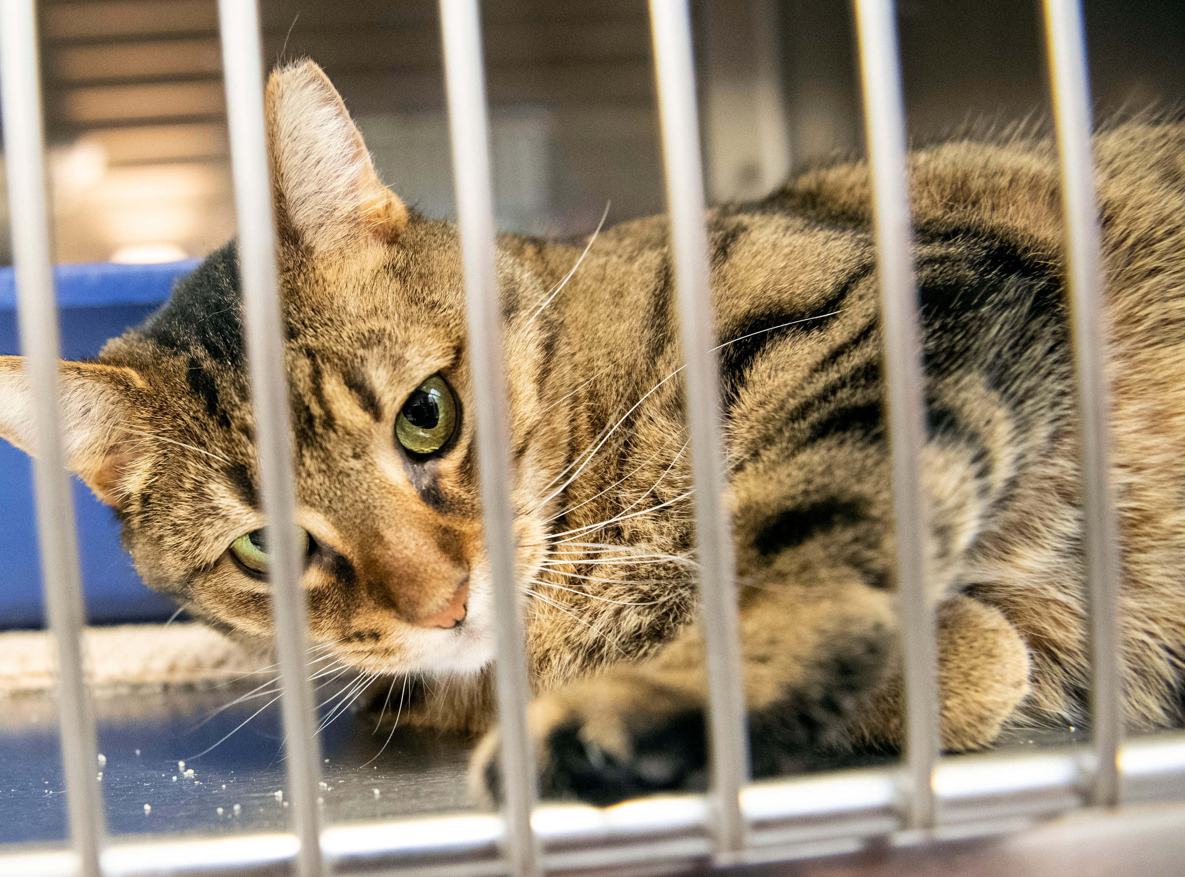 Marshmallow Popcorn, a 2-year old brown tabby, at the York County SPCA, Thursday, Feb. 7, 2019. She was found near the Galleria Mall in Springettsbury Township.