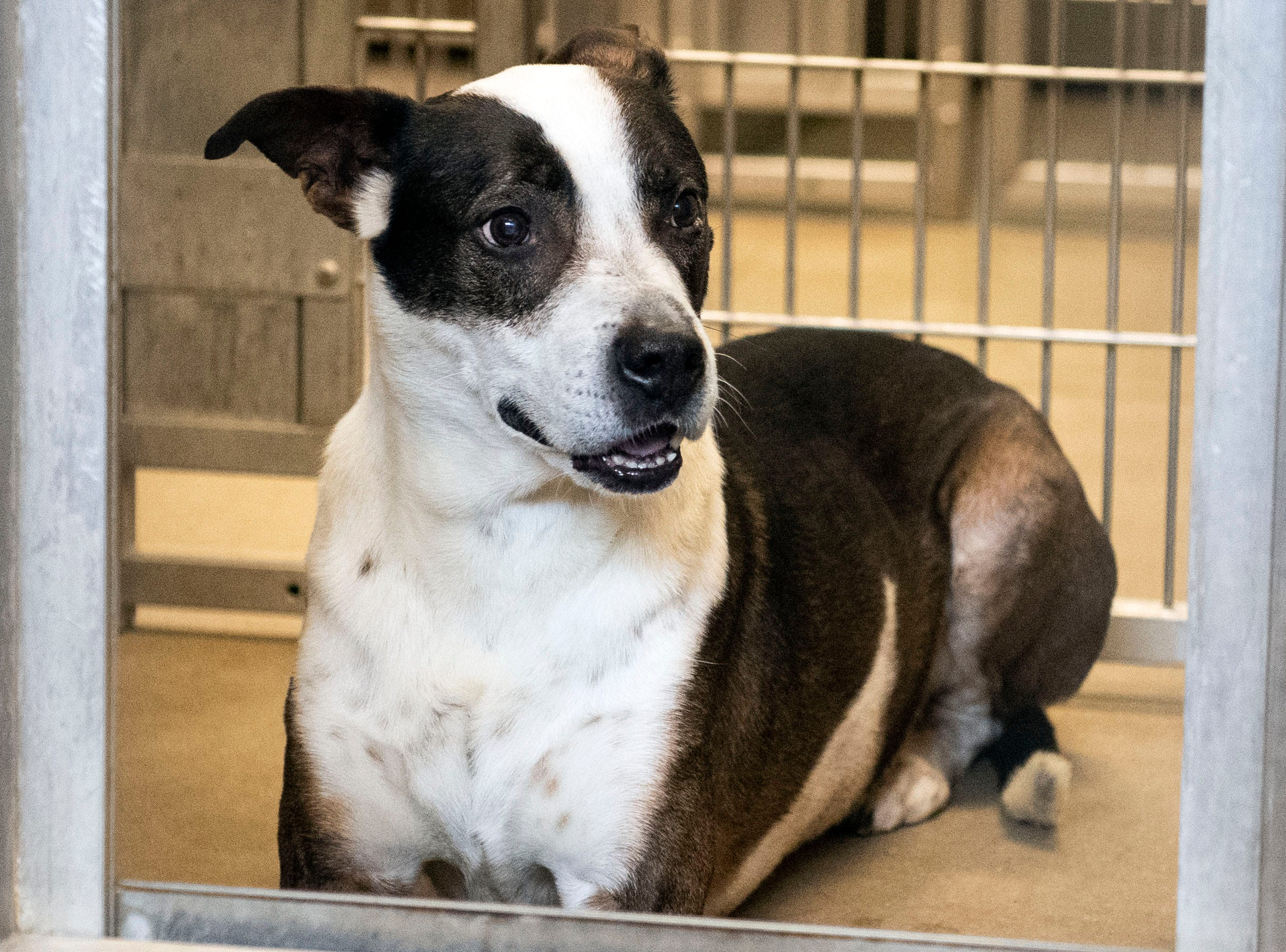 Major Payne, an Australian Cattle dog mix, 8-years old, at the York County SPCA, Thursday, Feb. 7, 2019.