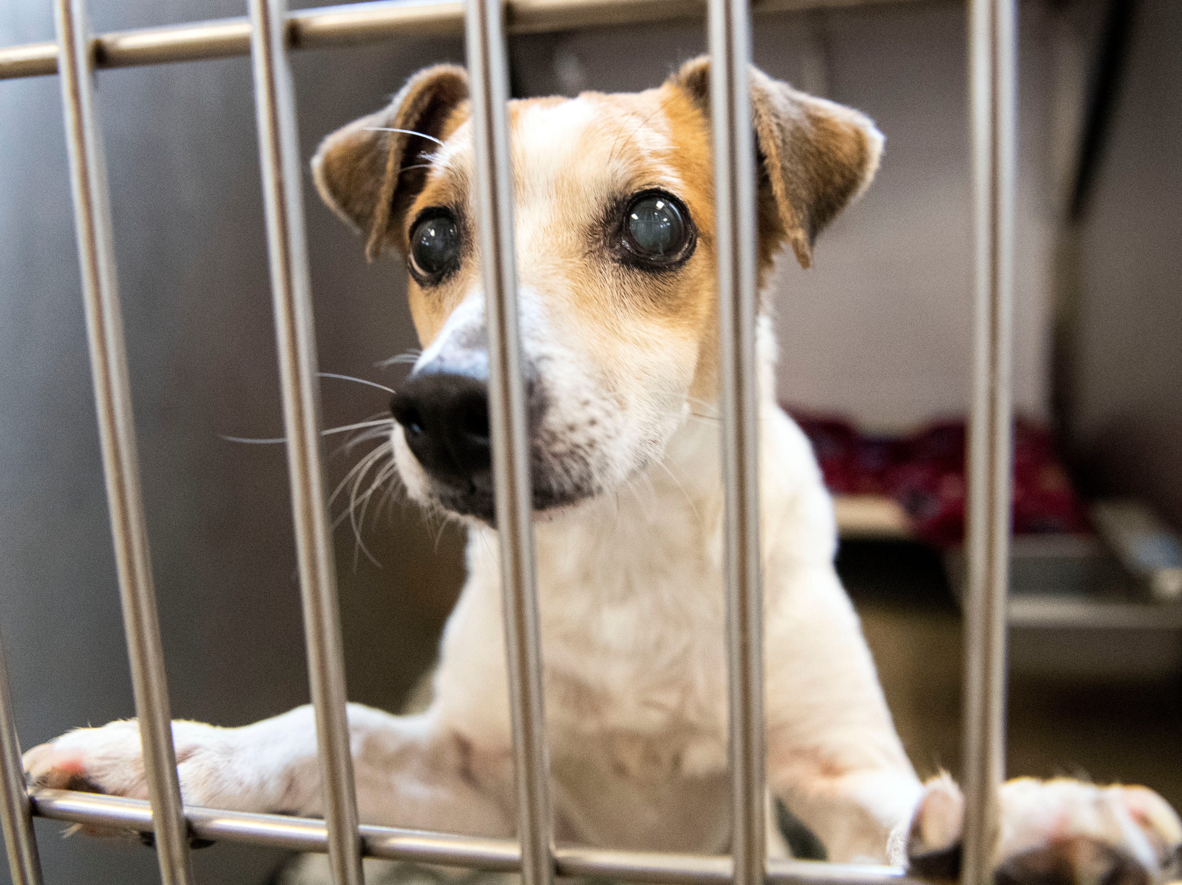 Stevie, a Jack Russell Terrier, under 6 years, at the York County SPCA, Thursday, Feb. 7, 2019. Stevie was found on Pleasant Hill Rd., in Lower Windsor Township. at the York County SPCA, Thursday, Feb. 7, 2019.
