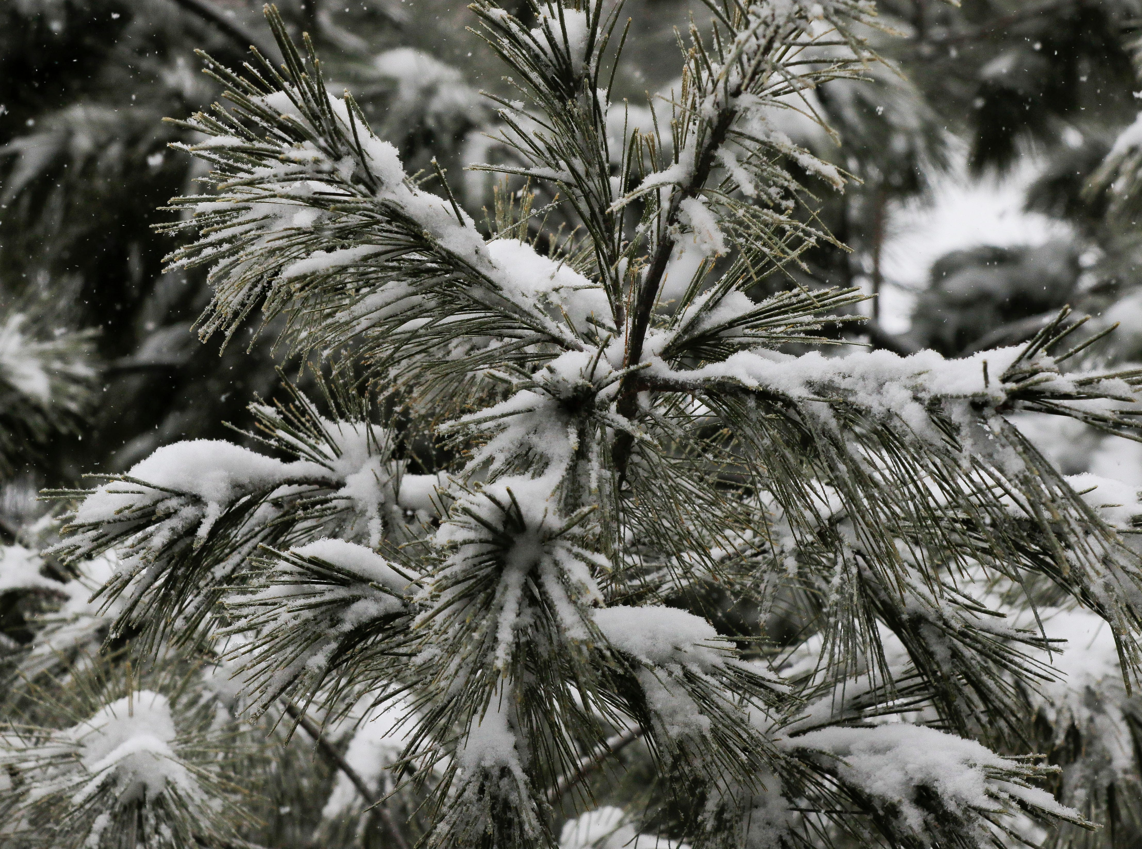 Snow builds up on the branches of an evergreen tree on Thursday, February 7, 2019, in Stevens Point, Wis. A winter storm is expected to drop 5-8 inches of snow in the area by the time it clears Thursday evening.