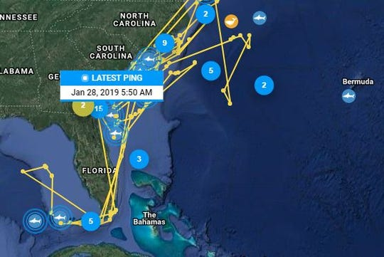 Miss Costa, a white shark tagged by OCEARCH, also loves Florida coast but enjoys more the Carolina coastline.