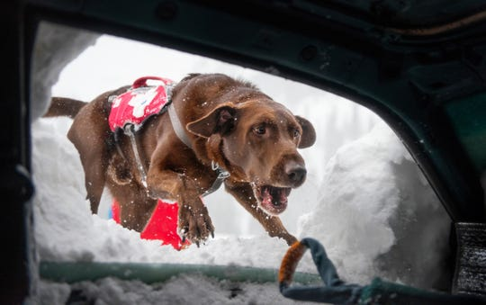 An avalanche rescue dog dives into a buried car to grab a toy during training in Alta, Utah.