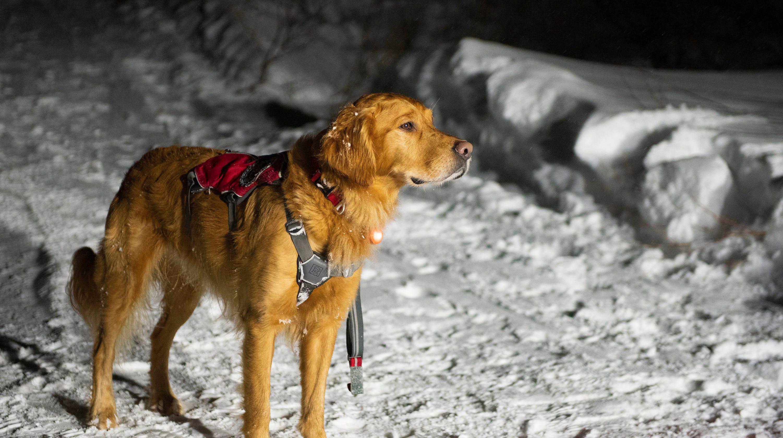 Avalanche Dog