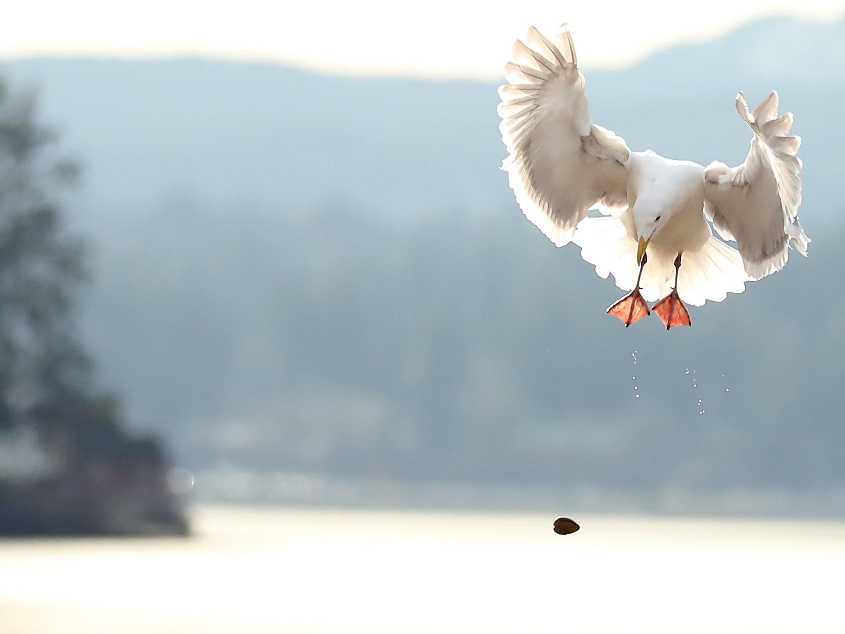A gull drops a muscle to the pavement below with hopes of cracking it open at the Tracyton Boat Launch on Thursday, February 7, 2019.