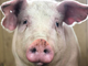 A close up of George, a pig rescued after falling off a livestock carrier, at Iowa Farm Sanctuary.