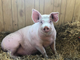 George, a pig rescued after falling off a livestock carrier, rests in his new home at Iowa Farm Sanctuary.