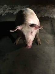 George, a pig rescued after falling off a livestock carrier, on January 15, 2019, the night of his rescue.