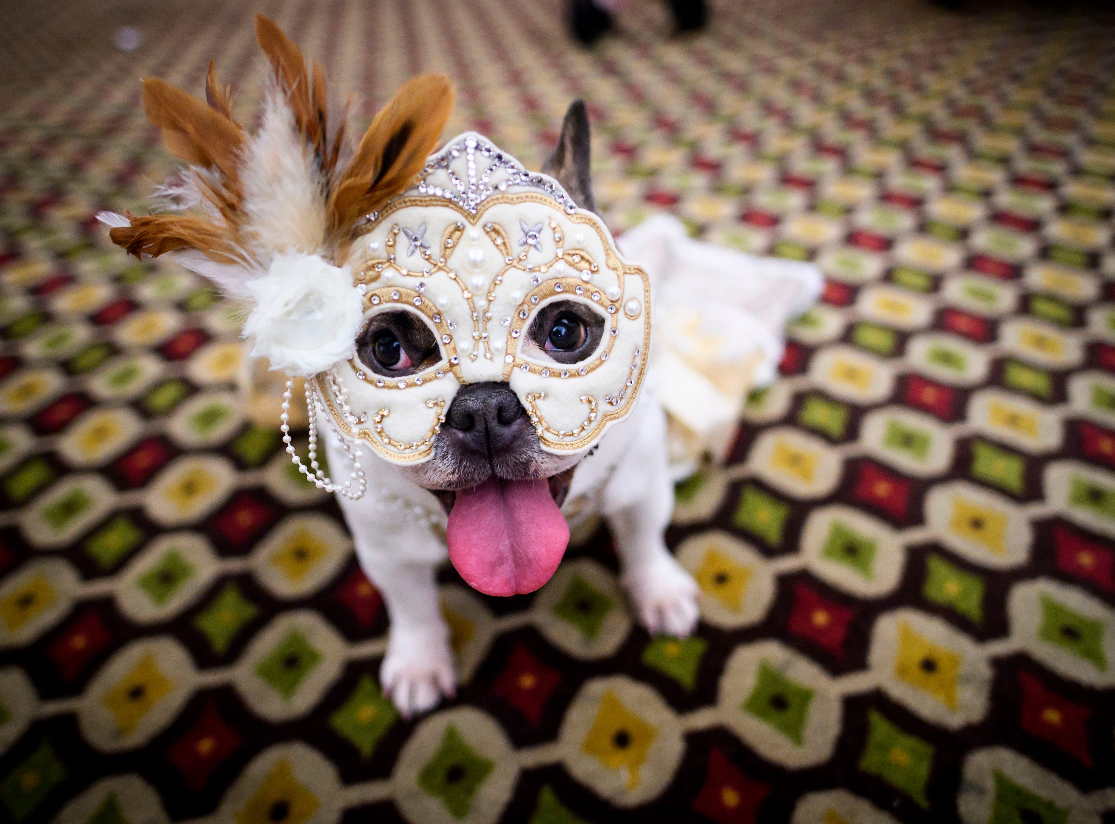 A dog gets dressed up for a show  backstage at the 16th annual New York Pet Fashion Show on Feb. 7, 2019 in New York City.