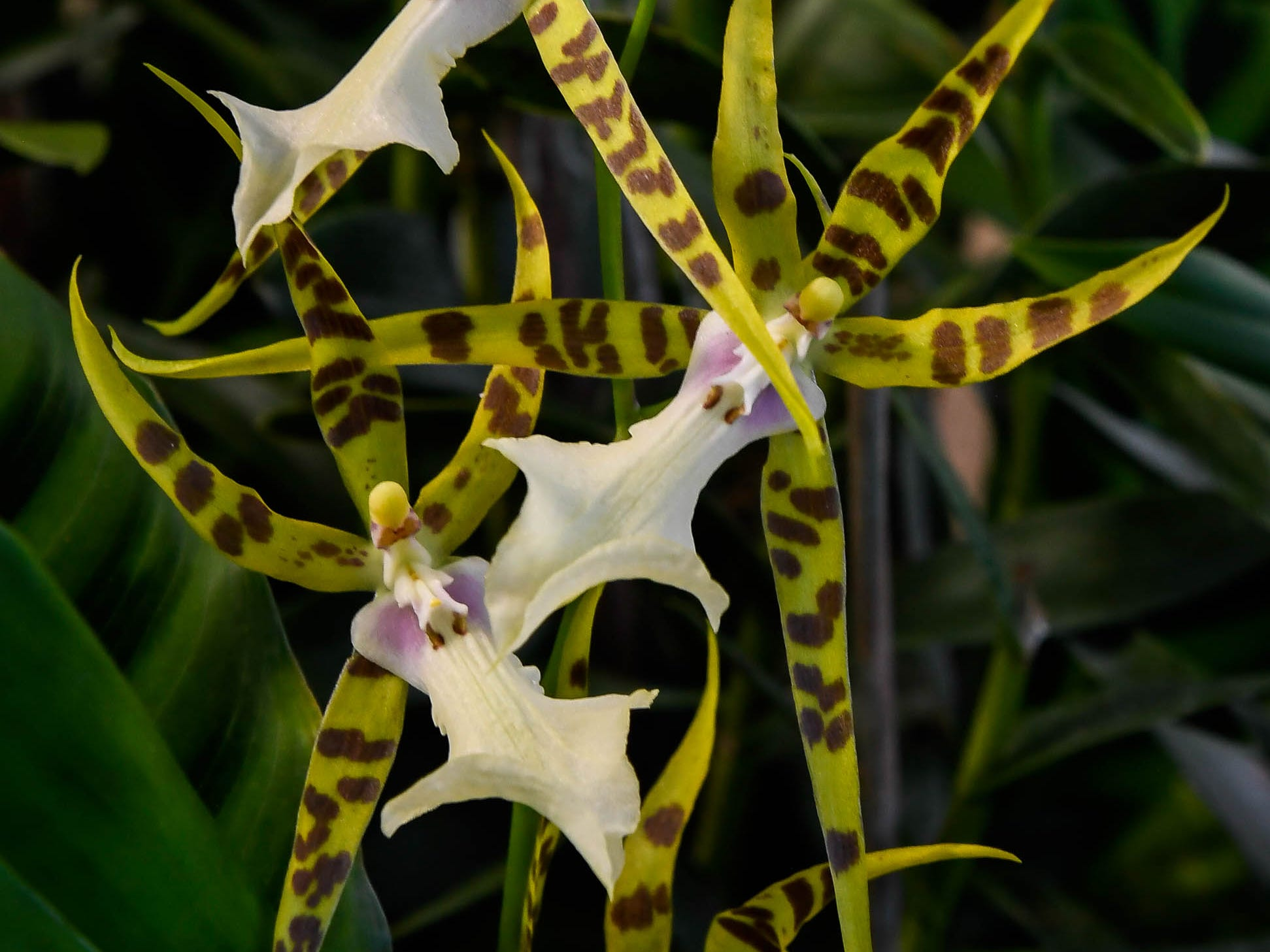 Spider Orchid on display in the Amazonia exhibit at Evansville's Mesker Park Zoo Friday, February 8, 2019.