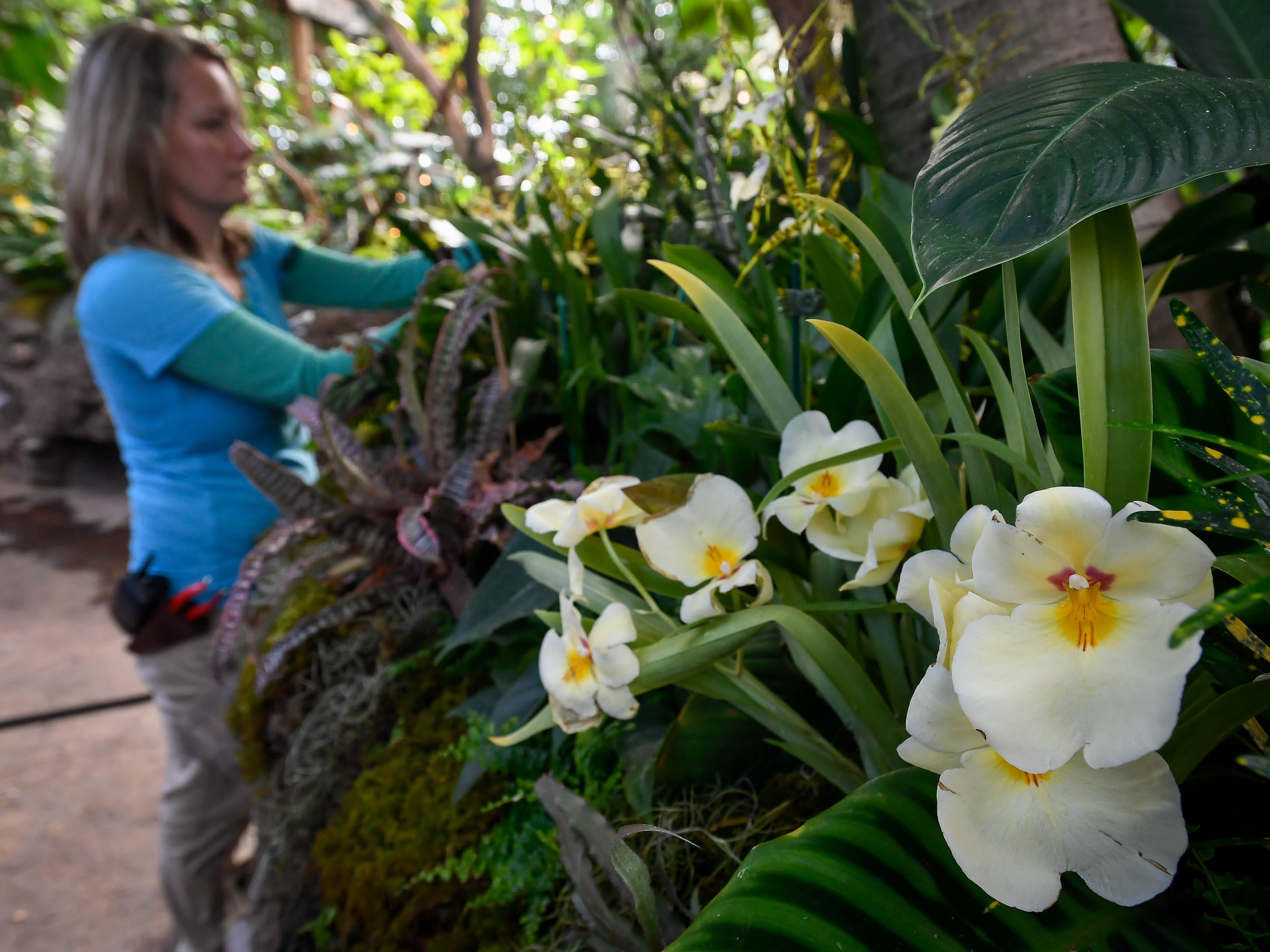 With a variety of Phalaenopsis Orchid blooming in the foreground, Mesker Park Zoo horticulturist Misty Minar prepares for Saturday's Orchid Escape Opening Friday, February 8, 2019.