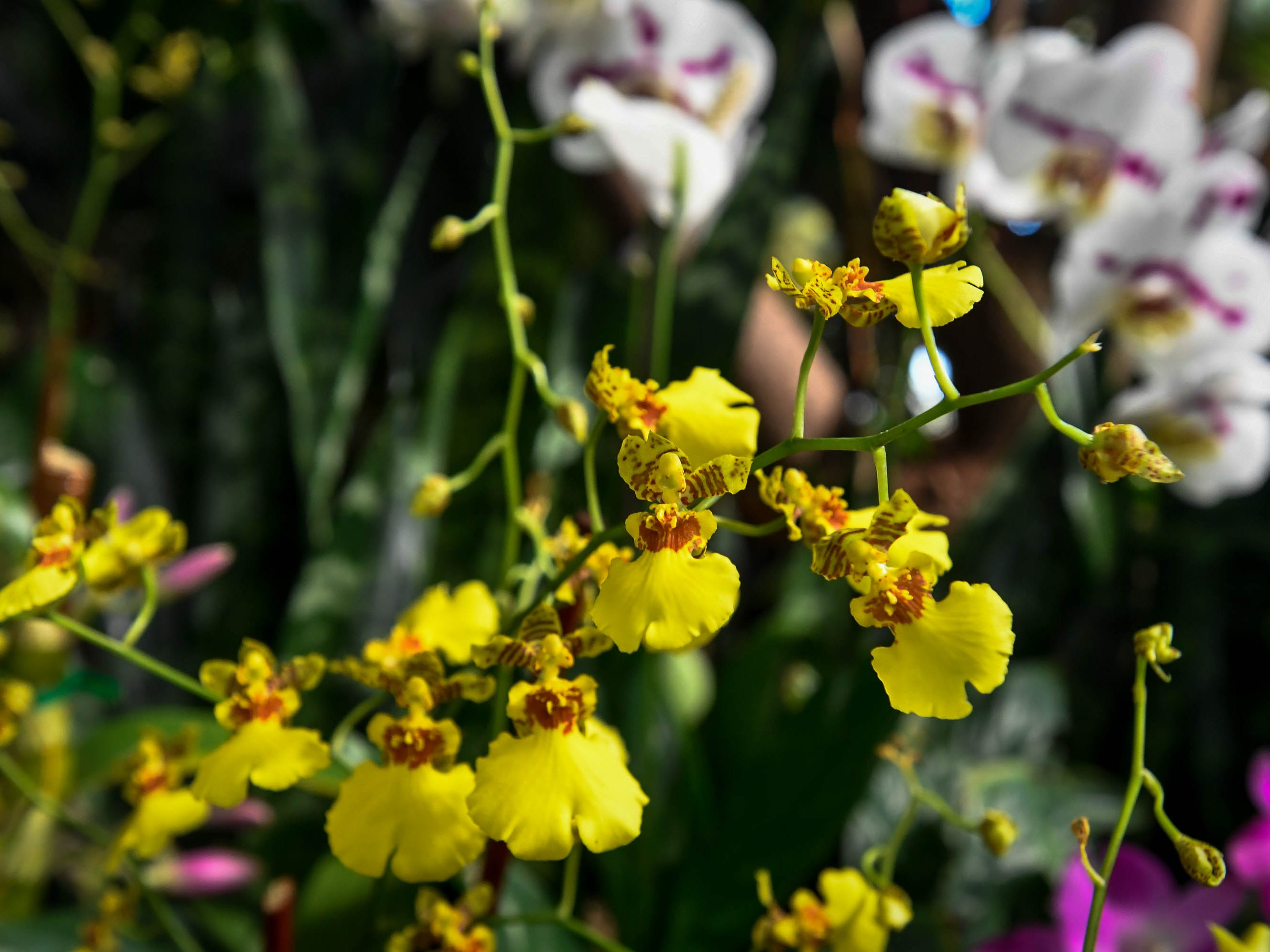 A Yellow Oncidium Orchid on display in the Amazonia exhibit at Evansville's Mesker Park Zoo Friday, February 8, 2019.