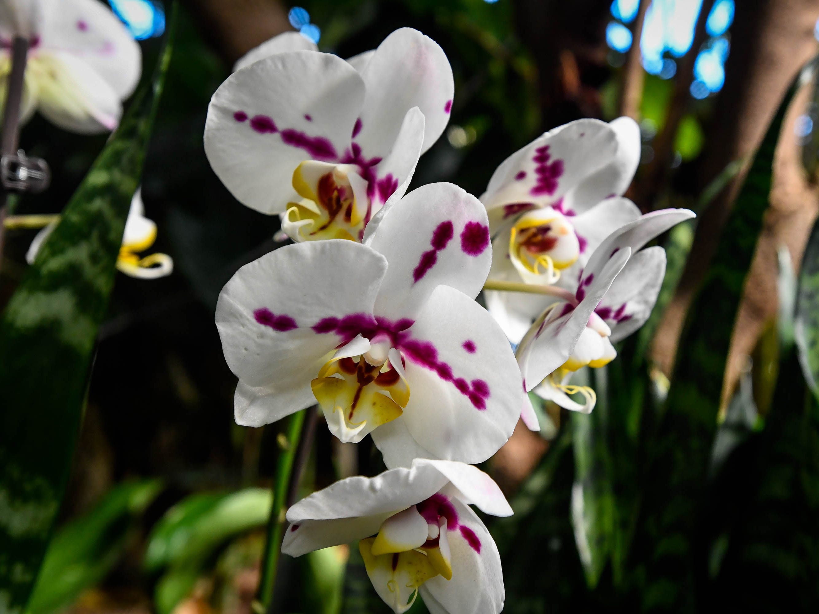 A variety of the Moth or Phalaenopsis Orchid on display in the Amazonia exhibit at Evansville's Mesker Park Zoo Friday, February 8, 2019.