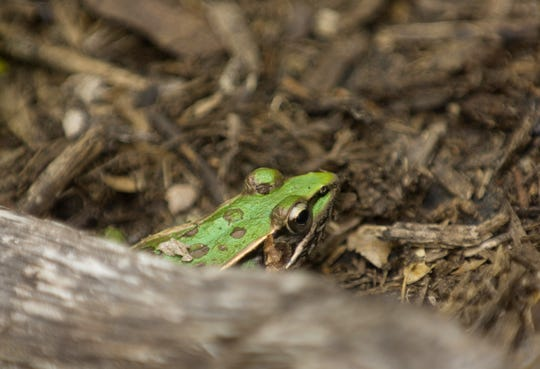A Southern leopard frog calls the Eagle Slough Natural Area home and tries to stay hidden under a large piece of wood mulch Wednesday morning.