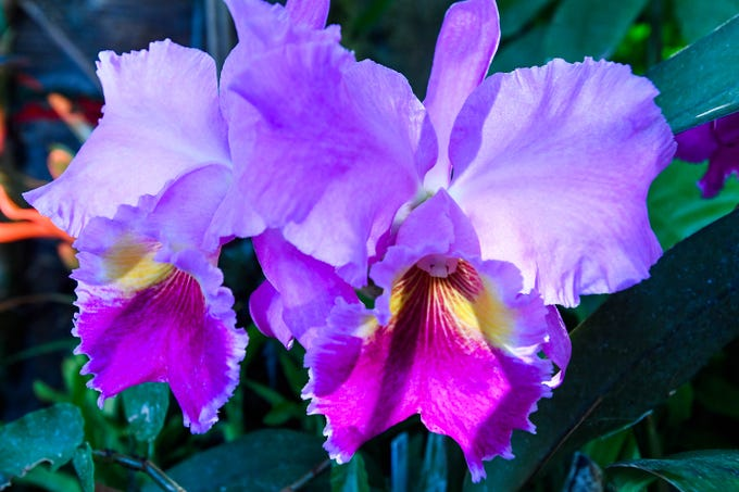 A Cattleya Orchid on display in the Amazonia exhibit at Evansville's Mesker Park Zoo Friday, February 8, 2019.