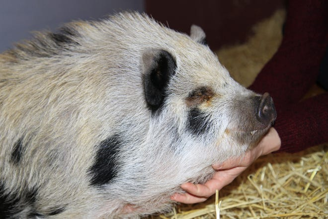 """""""Charlie the Pig"""" was the special guest at KellerGeist's year of the pig event"""