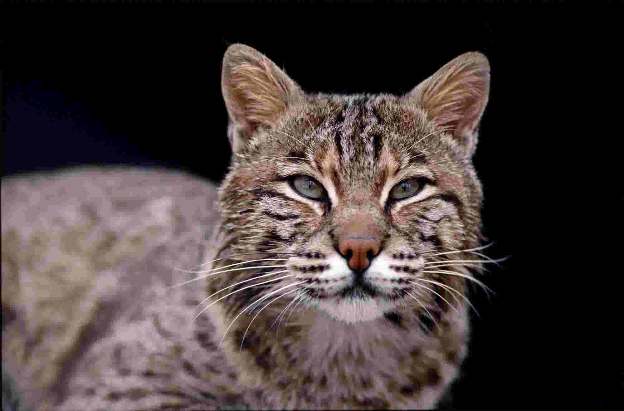 Indiana lawmaker wants bobcat hunting