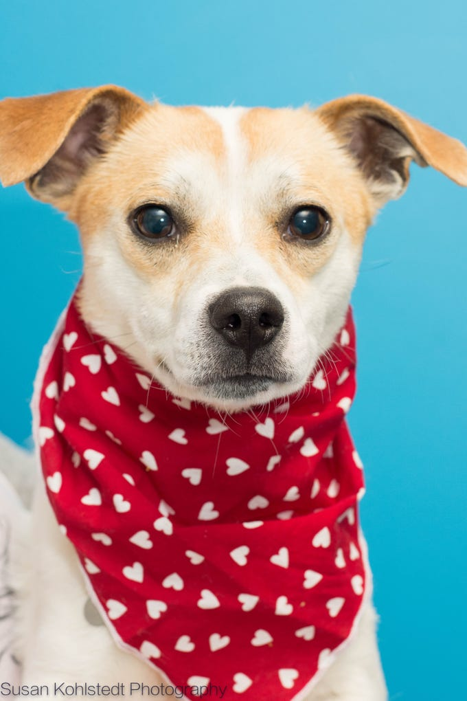 Vann is a 3 year old male Jack Russell mix. He's a handsome boy who loves people and wants to be your Valentine! Meet Vann and all our adoptable animals at HumaneSocietyTennessee.org!