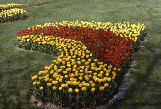 Richard Poffenbaugh said he will never forget this gorgeous red and yellow tulip bed from May 1982. It was located on the south lawn of Kingwood Center.