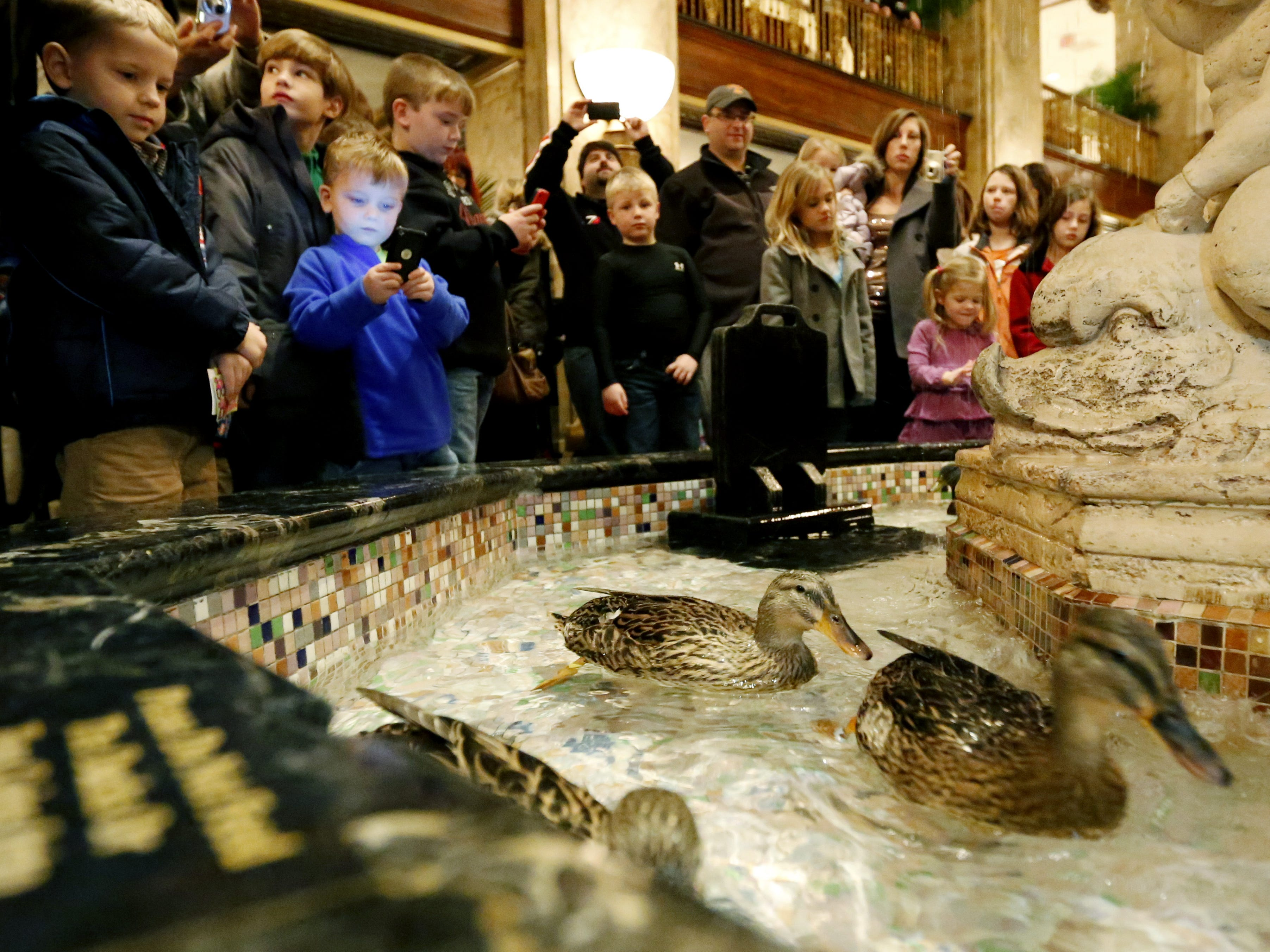 """Tourists watch on as ducks swim in a fountain in the lobby of the Peabody Hotel in Memphis on Dec. 28, 2012. The ducks take a """"Duck March"""" each day from where they live in the penthouse year-round. Then come down in an elevator, scamper across a red carpet and jump into the lobby fountain."""