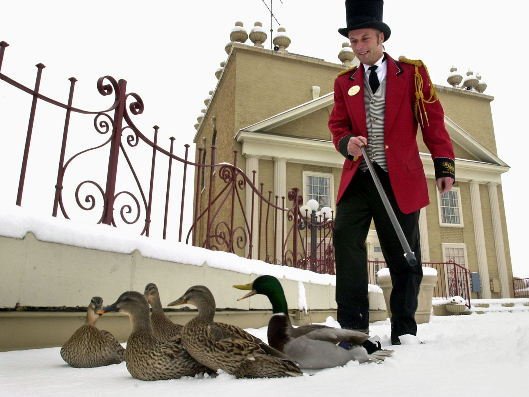 """""""They got a little tired at the end,"""" said Peabody Hotel Duckmaster Kalyn Housdan about his fledgling duck team's traverse across a snow-capped rooftop on their way to their morning duck march duties in the lobby of the Peabody Hotel on Feb. 6 2002. The team of ducks has been on the job two weeks after the last duck team traveled by limousine to the new Peabody Hotel in Little Rock, Ark."""