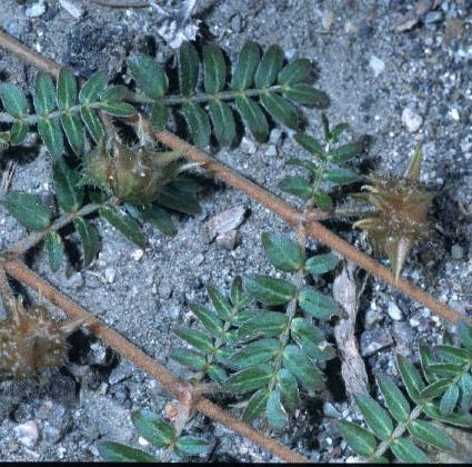 Got goatheads and sandburs? Timing is everything when trying to control these pesky weeds