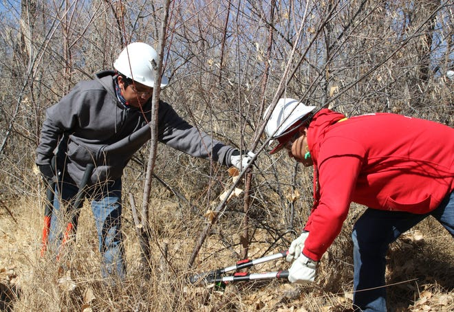 Youth Conservation Corps members Mark Goldtooth, left, and Lance Joe remove a bush as part of a training exercise in Bloomfield on Thursday.
