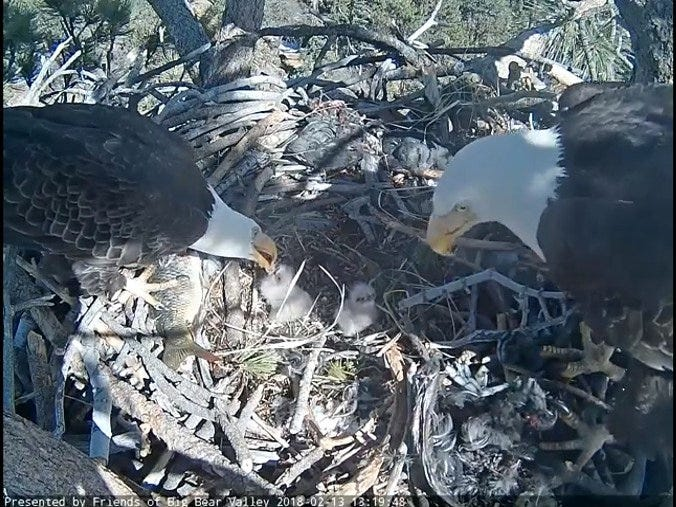 Big Bear Valley bald eagle live camera footage